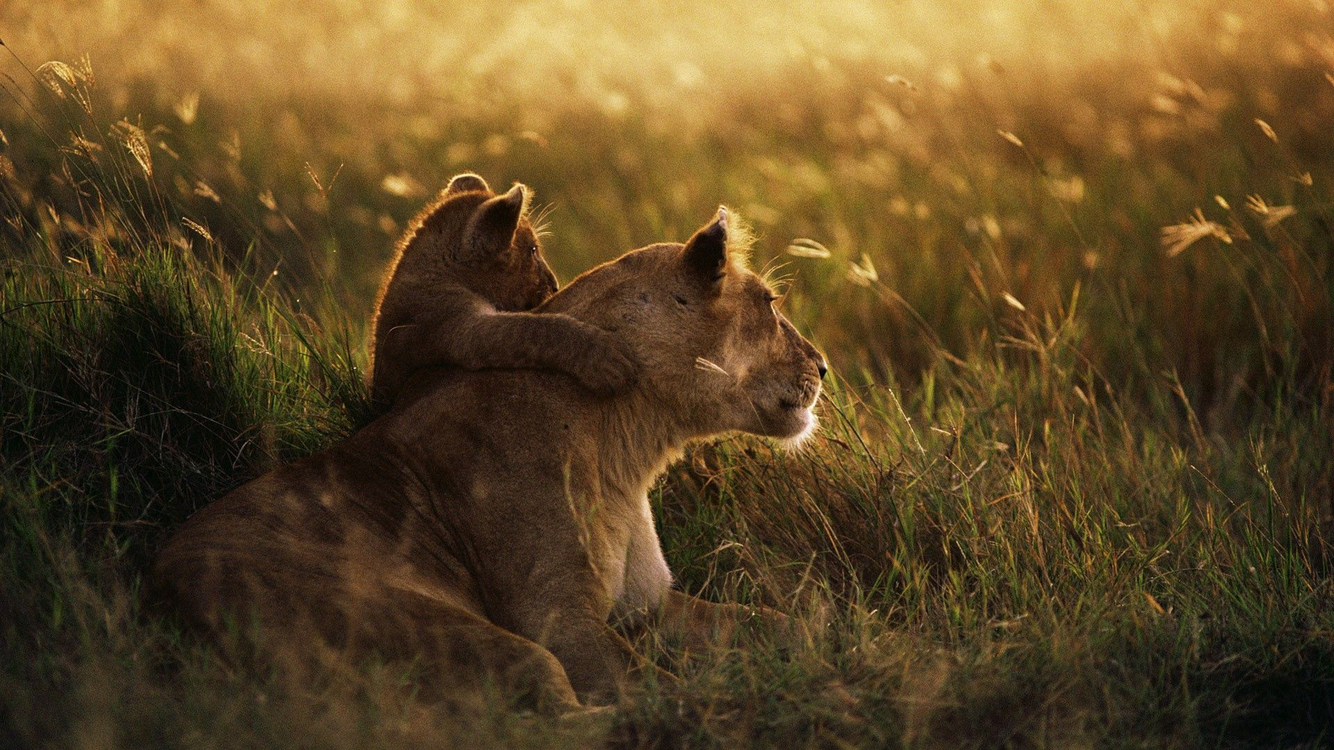 84452 download wallpaper Animals, Lioness, Lion, Sunset, Young, Joey, Care, Grass, Shadow screensavers and pictures for free