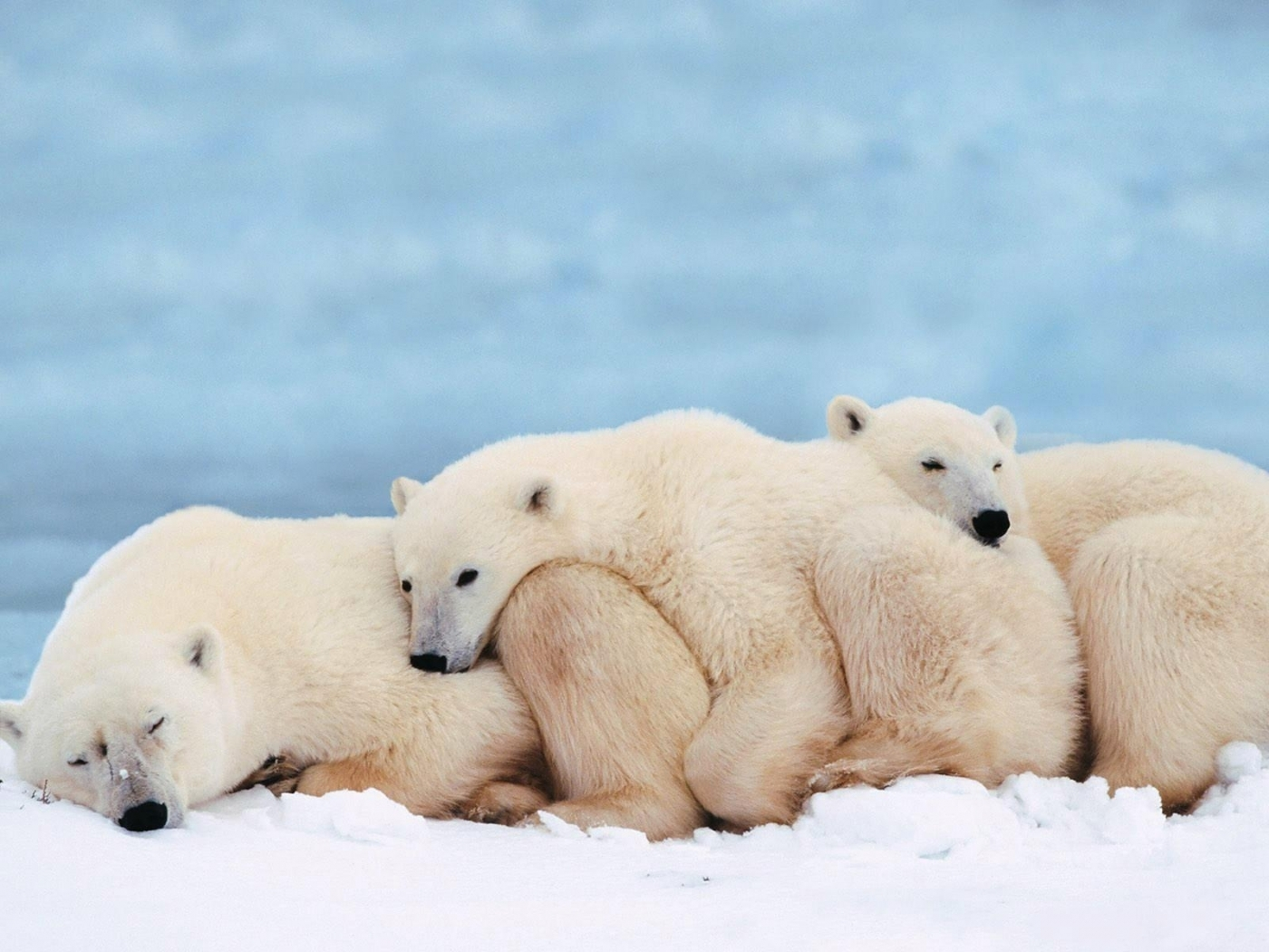 48820 download wallpaper Animals, Bears screensavers and pictures for free