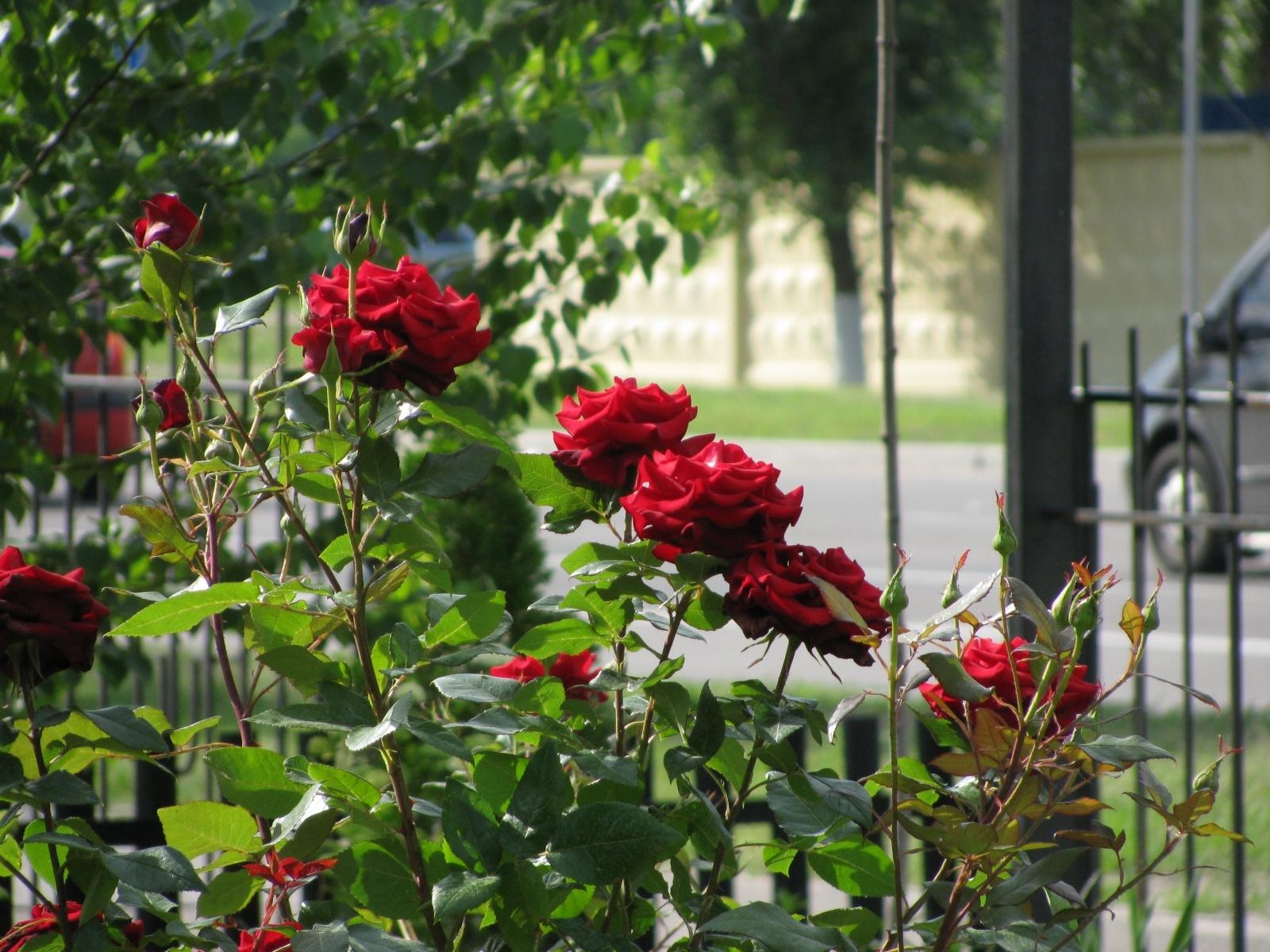 5512 скачать обои Растения, Цветы, Розы - заставки и картинки бесплатно