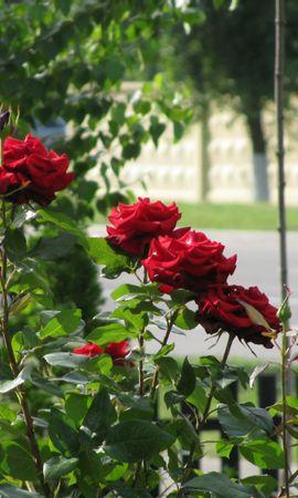 5512 télécharger le fond d'écran Plantes, Fleurs, Roses - économiseurs d'écran et images gratuitement