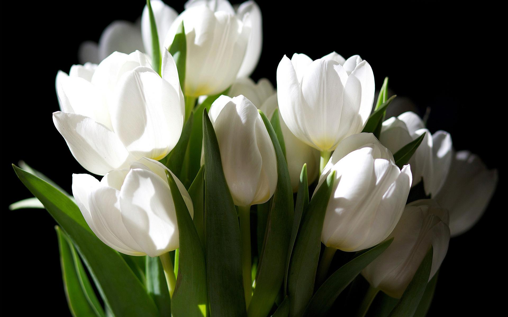 46411 скачать обои Тюльпаны, Растения, Цветы - заставки и картинки бесплатно