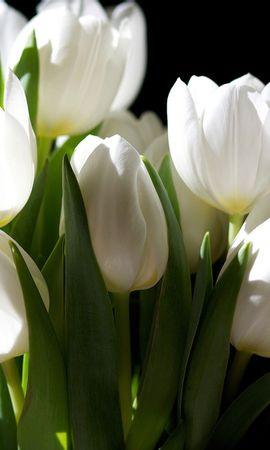 46411 descargar fondo de pantalla Plantas, Flores, Tulipanes: protectores de pantalla e imágenes gratis