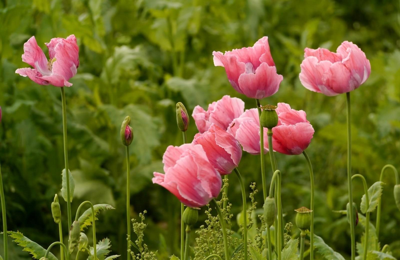 135380 скачать обои Цветы, Маки, Розовые, Лето, Зелень - заставки и картинки бесплатно