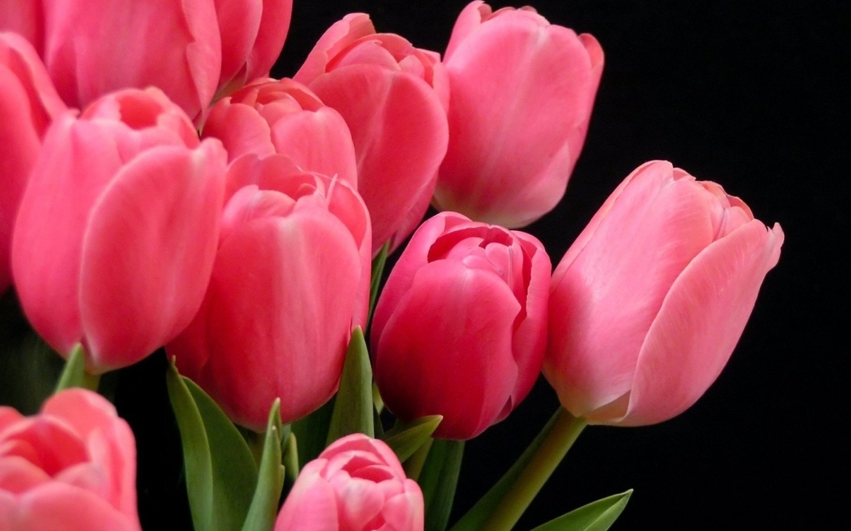 13079 скачать обои Растения, Цветы, Тюльпаны - заставки и картинки бесплатно