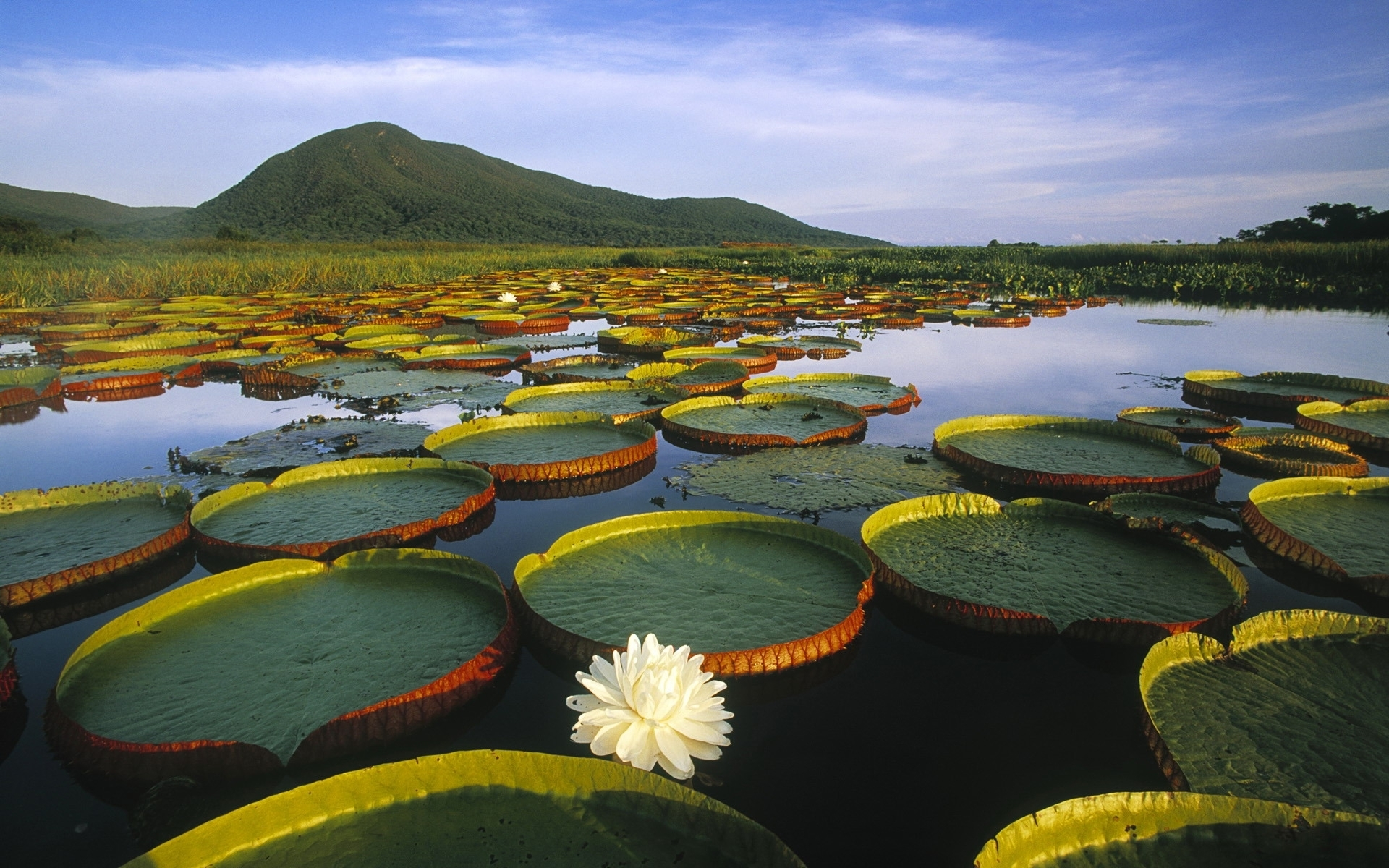6974 download wallpaper Landscape, Lilies, Swamp screensavers and pictures for free
