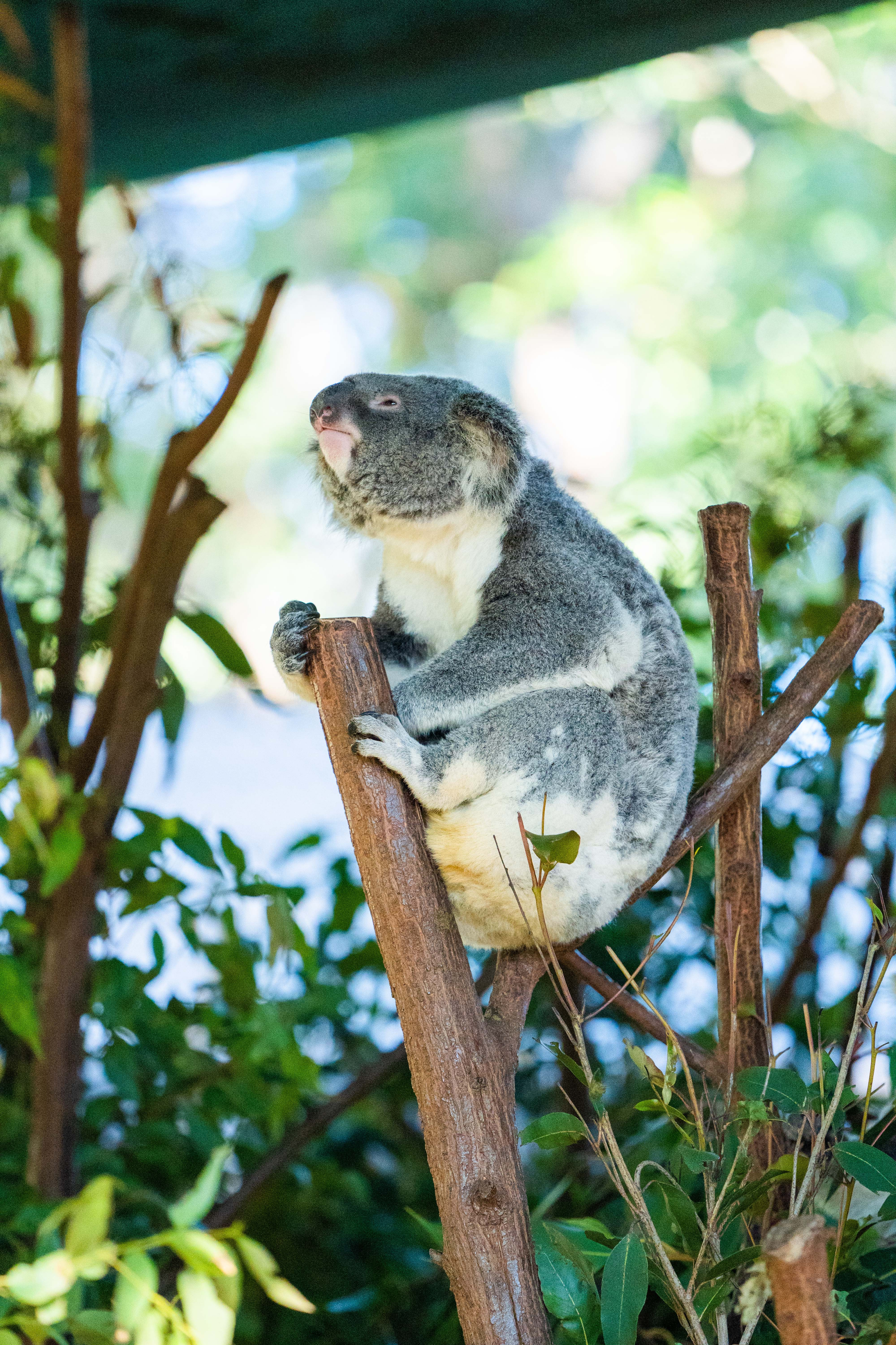 91133 download wallpaper Animals, Koala, Animal, Branches, Wood, Tree screensavers and pictures for free