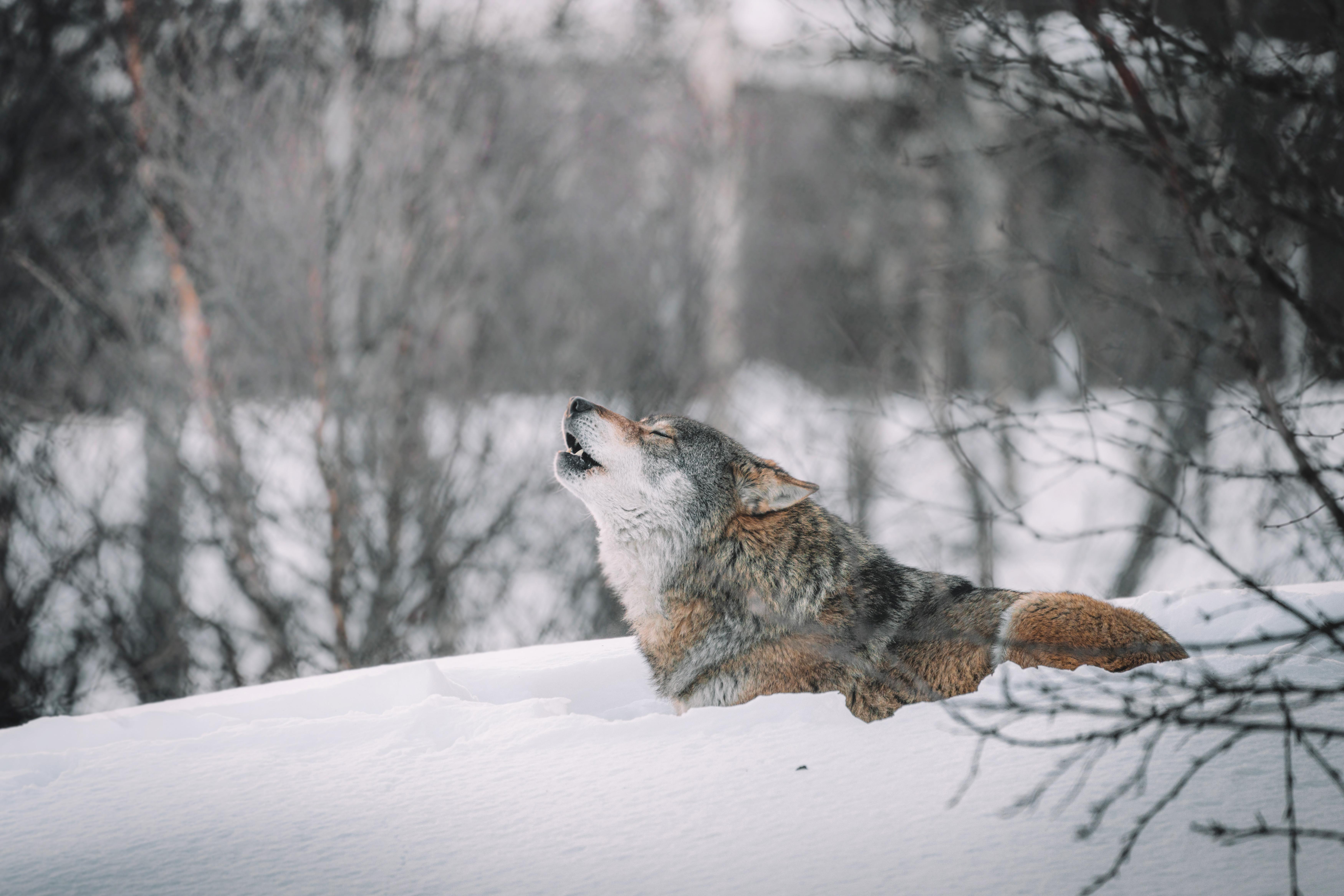 105498 скачать обои Животные, Волк, Вой, Хищник, Снег, Дикая Природа - заставки и картинки бесплатно