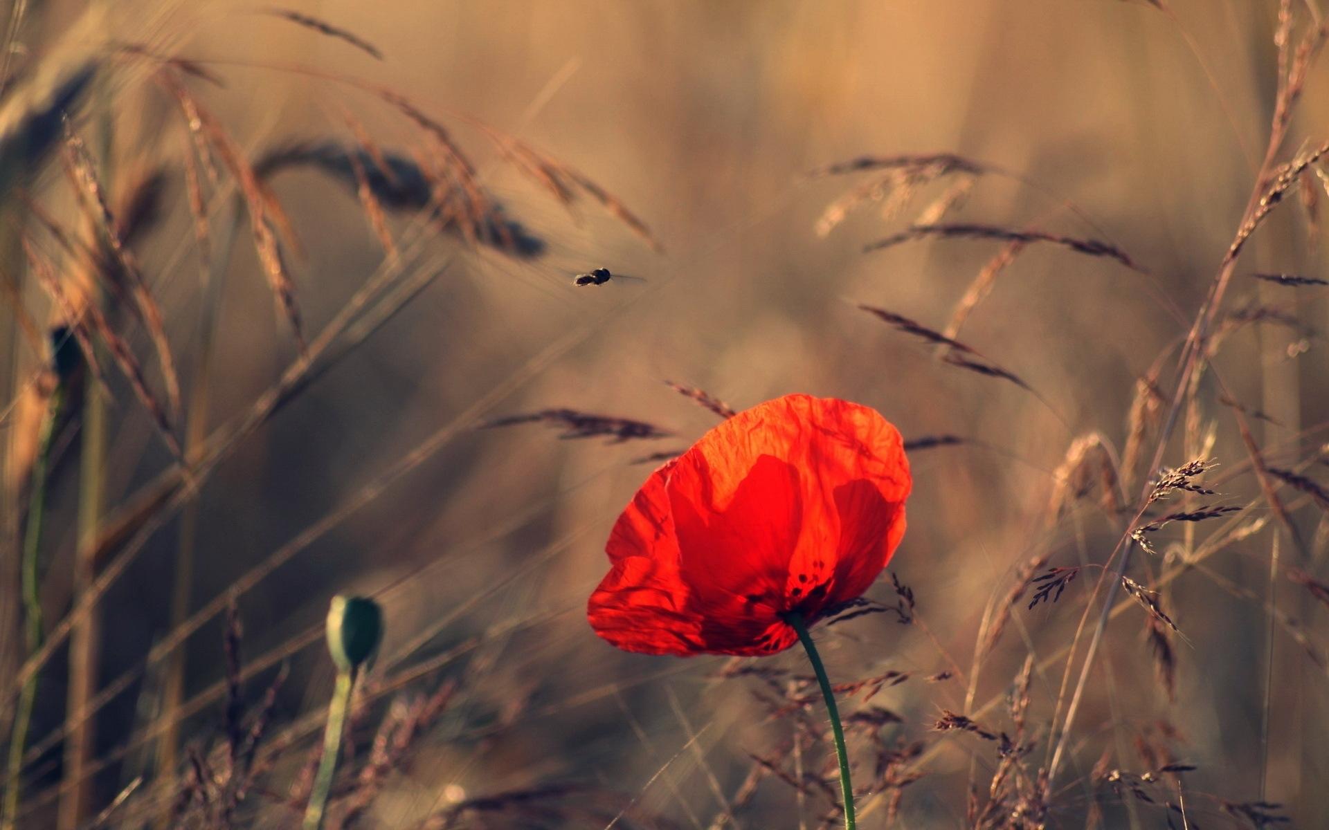 29152 скачать обои Растения, Цветы, Маки - заставки и картинки бесплатно