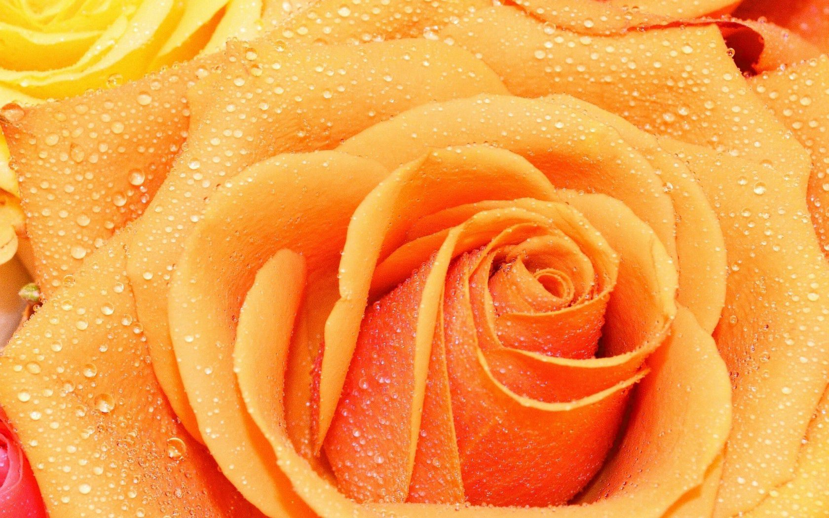 78446 Screensavers and Wallpapers Petals for phone. Download Drops, Macro, Rose Flower, Rose, Petals pictures for free