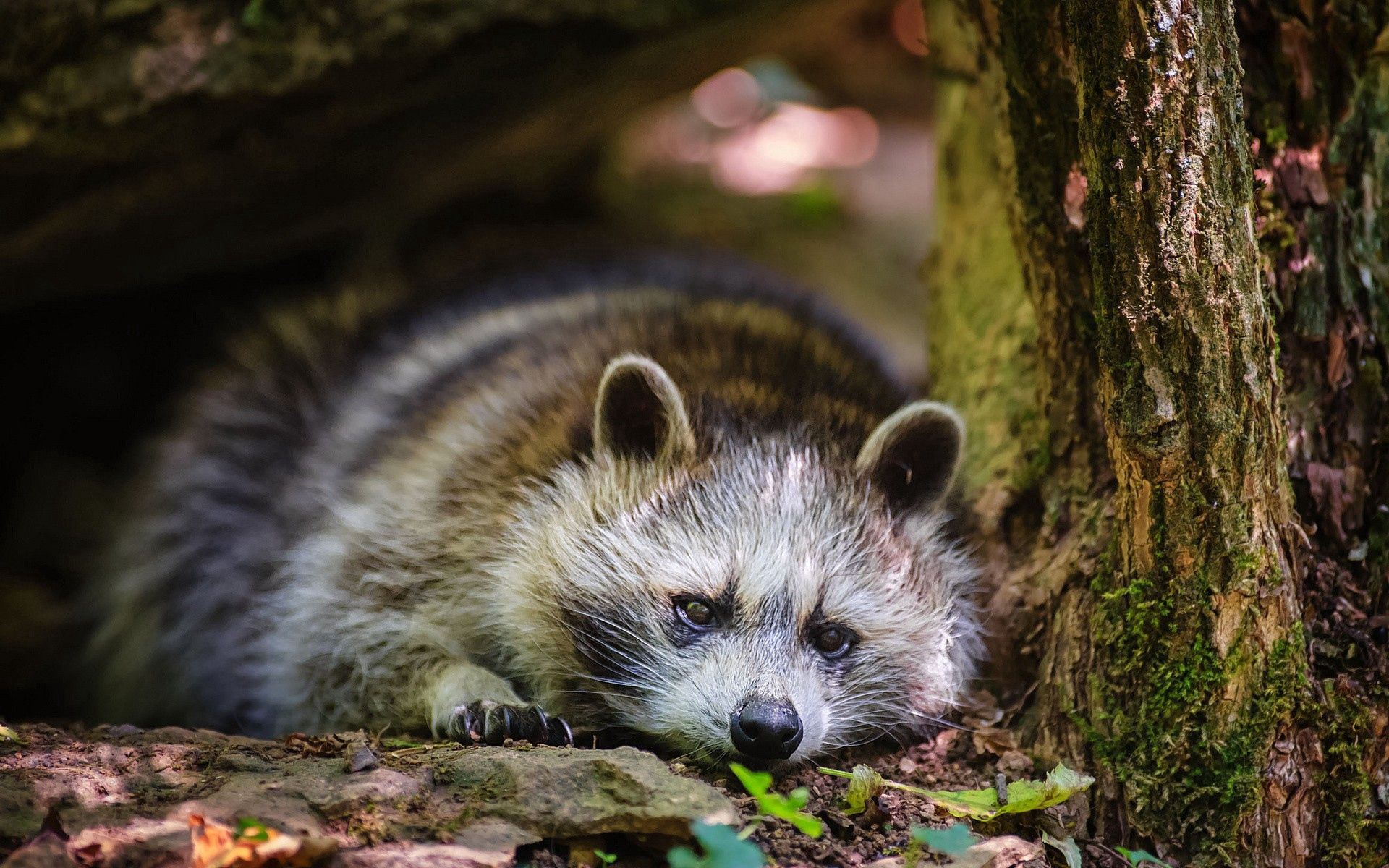 122082 Screensavers and Wallpapers Raccoon for phone. Download Animals, Grass, Leaves, To Lie Down, Lie, Raccoon pictures for free