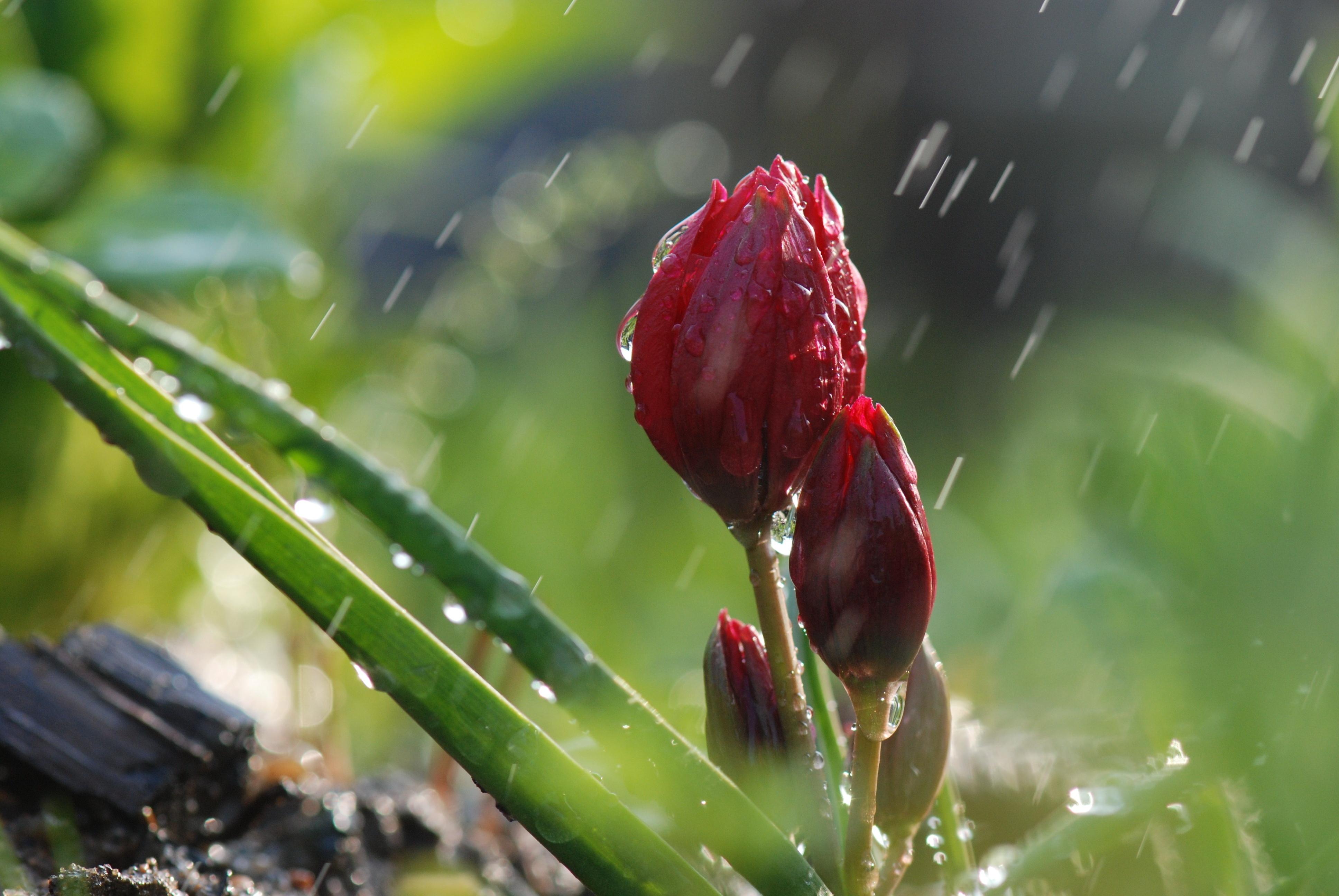 98319 скачать обои Природа, Цветы, Дождь, Макро, Зелень, Бутоны - заставки и картинки бесплатно