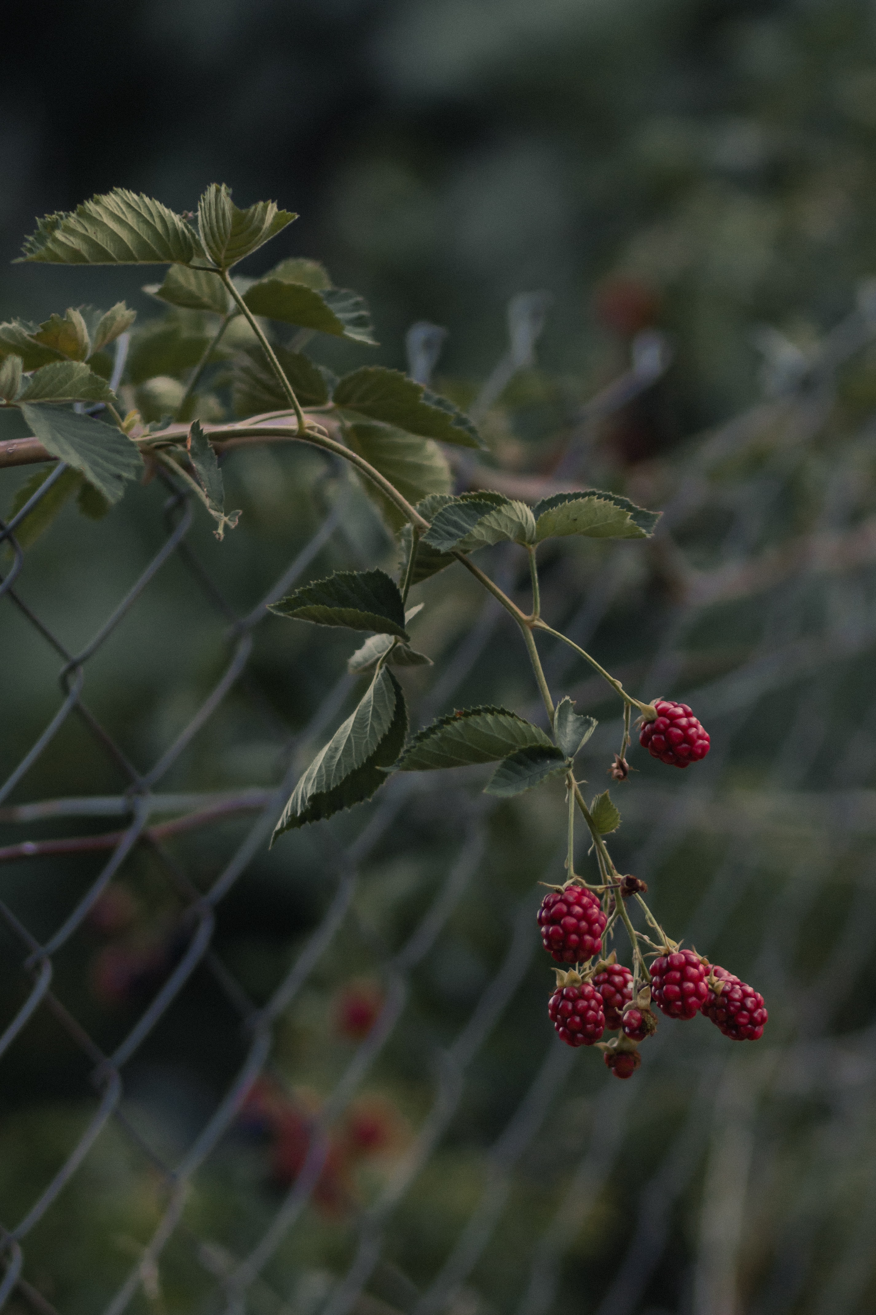 55554 download wallpaper Food, Raspberry, Branch, Berries screensavers and pictures for free