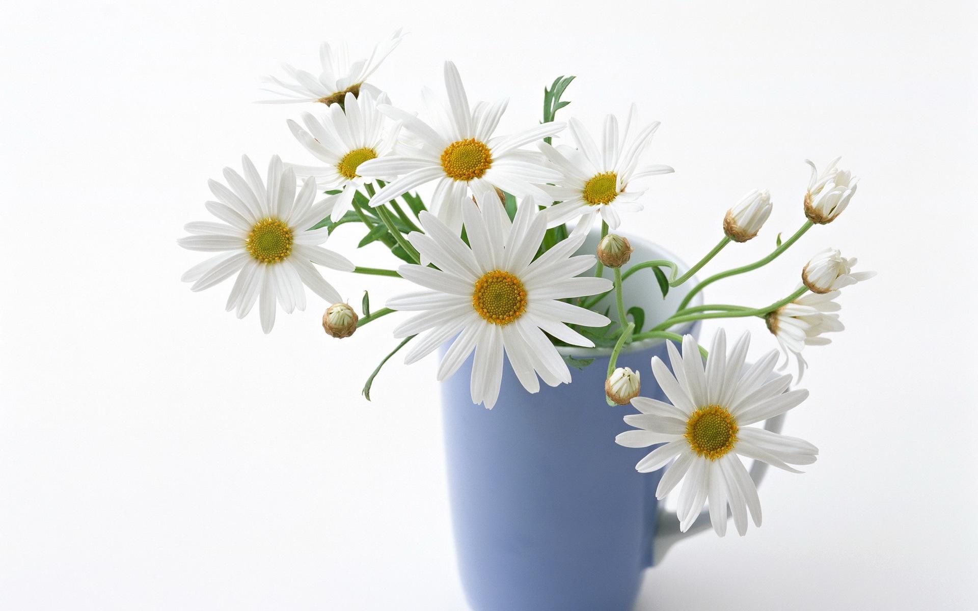 19063 Hintergrundbild herunterladen Blumen, Pflanzen, Cups, Kamille, Bouquets - Bildschirmschoner und Bilder kostenlos