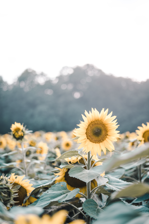 62409 Заставки и Обои Подсолнухи на телефон. Скачать Цветы, Поле, Цветение, Растения, Подсолнухи картинки бесплатно