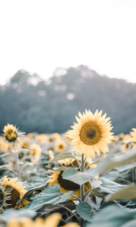 62409 download wallpaper Flowers, Field, Bloom, Flowering, Plants, Sunflowers screensavers and pictures for free