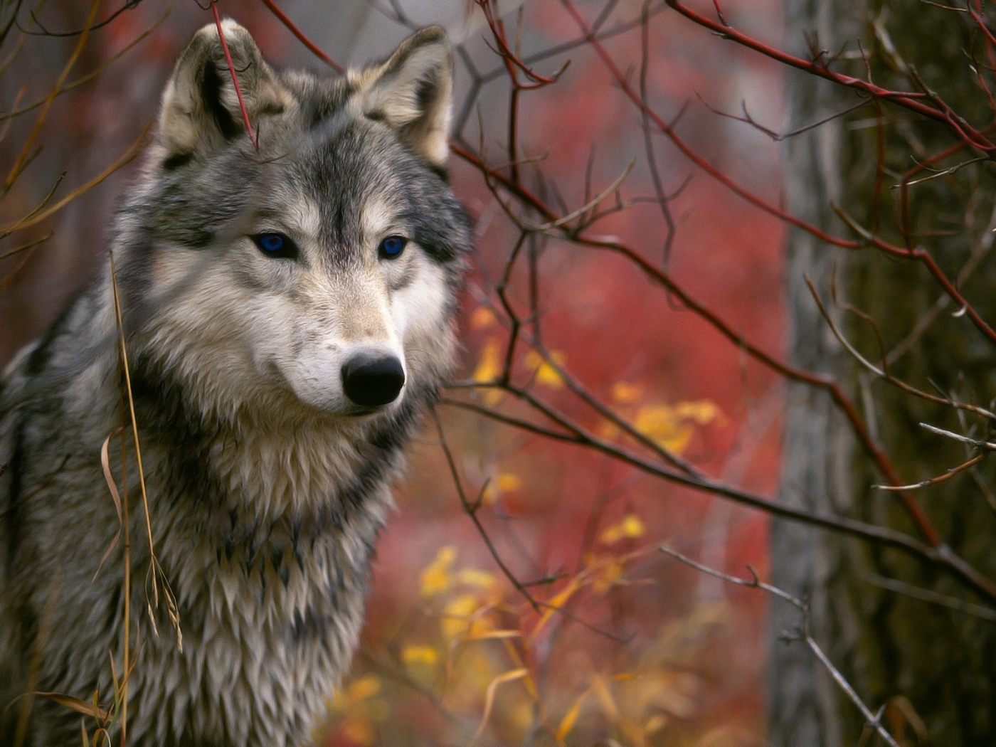 28249 download wallpaper Animals, Wolfs screensavers and pictures for free