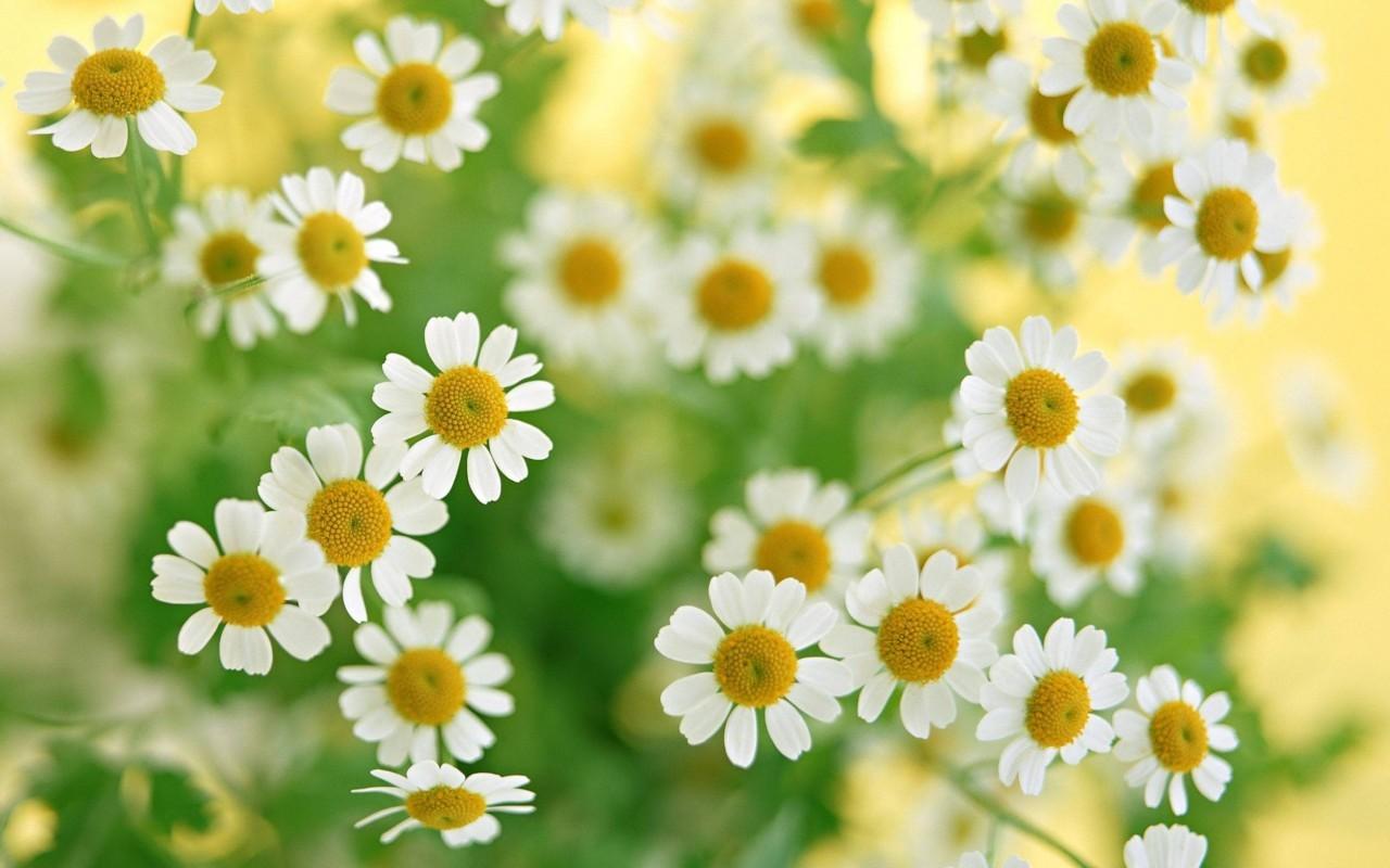 17665 скачать обои Растения, Цветы, Ромашки - заставки и картинки бесплатно
