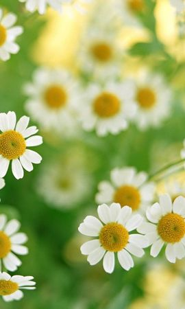 17665 download wallpaper Plants, Flowers, Camomile screensavers and pictures for free