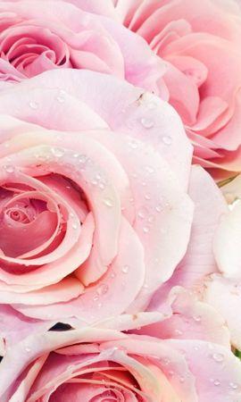 43276 télécharger le fond d'écran Plantes, Fleurs, Roses - économiseurs d'écran et images gratuitement