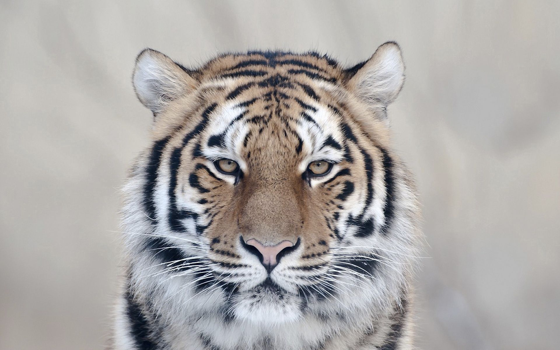 95459 download wallpaper Animals, Tiger, Muzzle, Big Cat, Predator screensavers and pictures for free