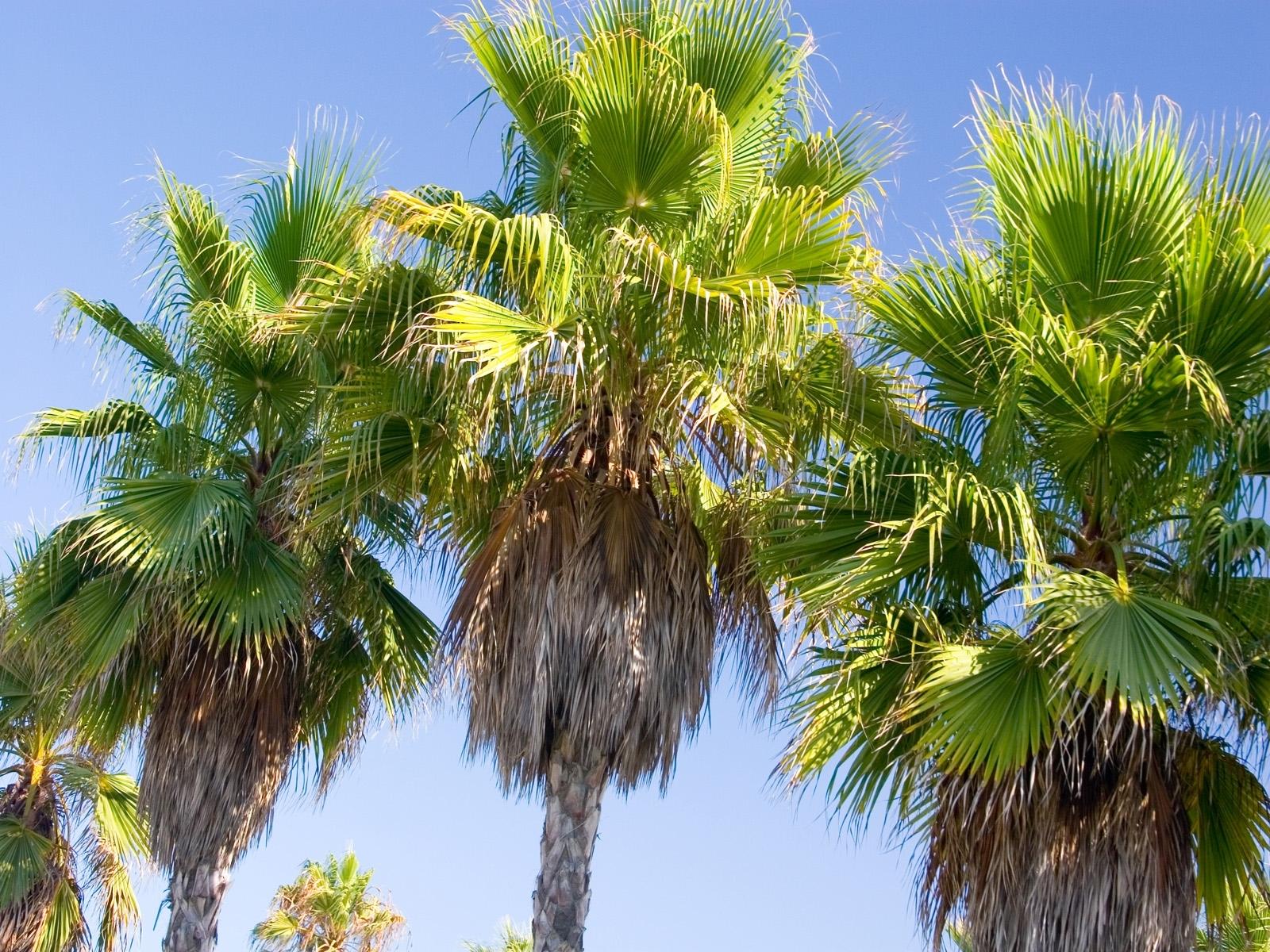 3366 скачать обои Растения, Деревья, Пальмы - заставки и картинки бесплатно