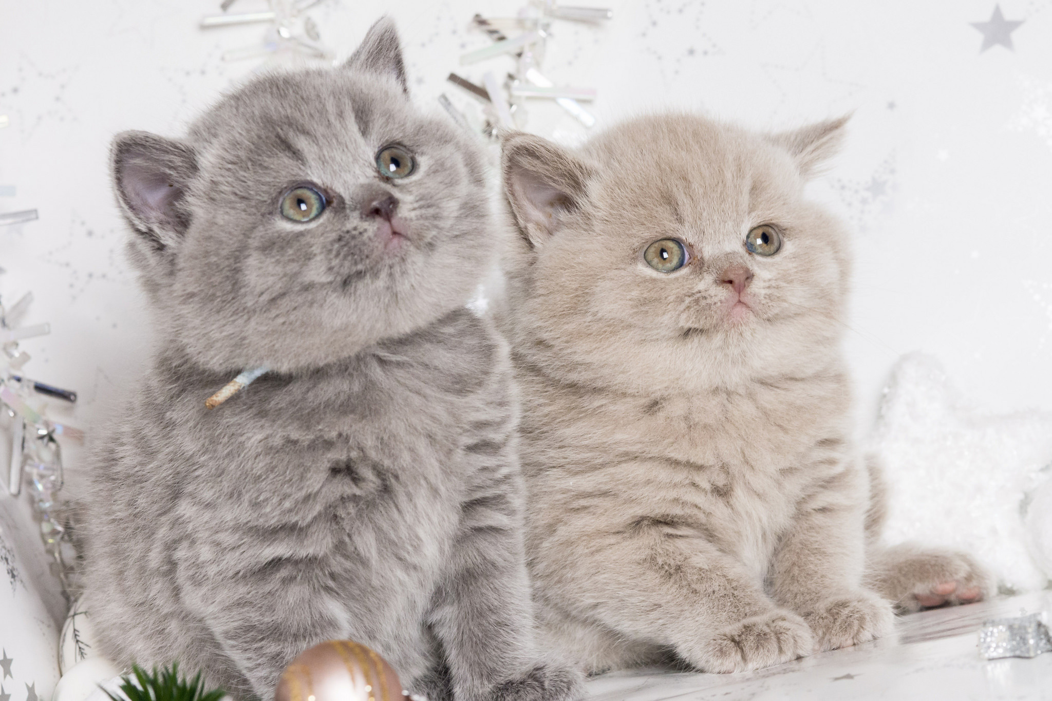 139293 Screensavers and Wallpapers Kittens for phone. Download Animals, Couple, Pair, Cute, Kittens, British pictures for free