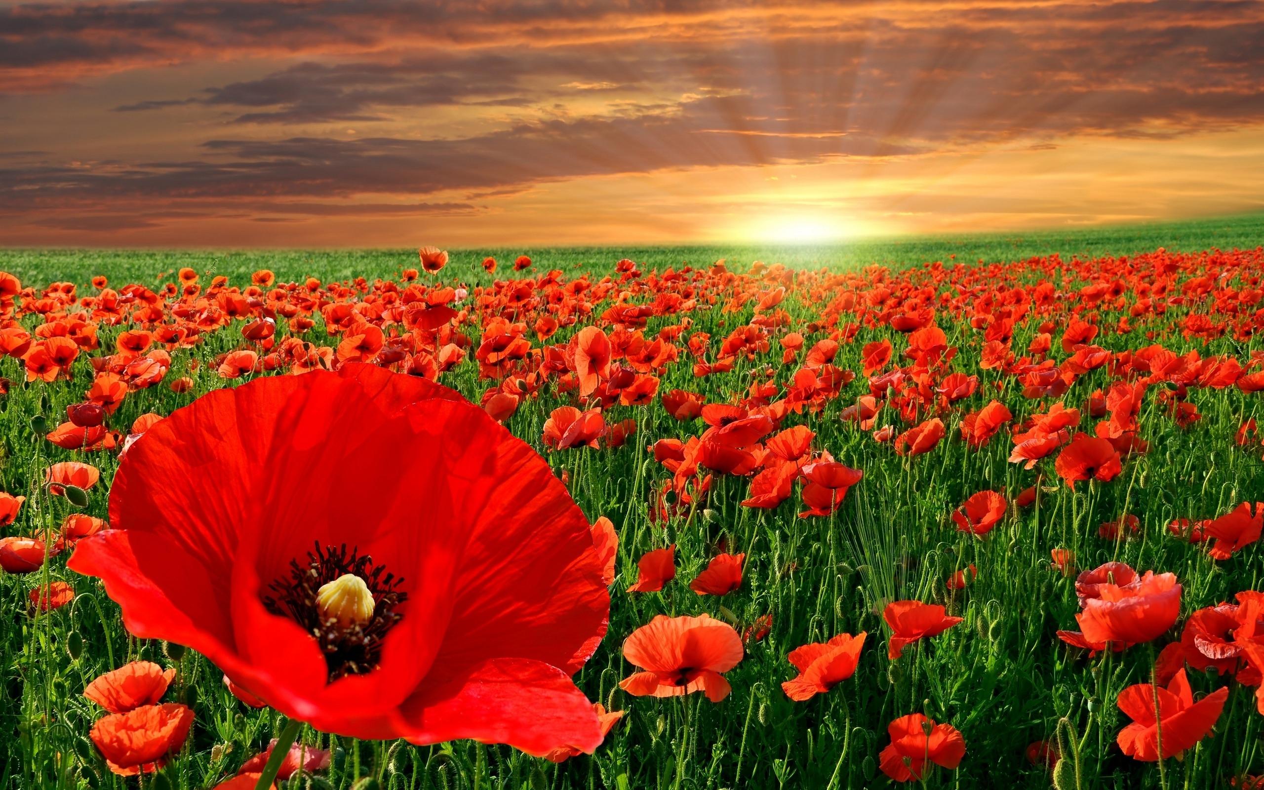 37740 скачать обои Растения, Цветы, Маки - заставки и картинки бесплатно