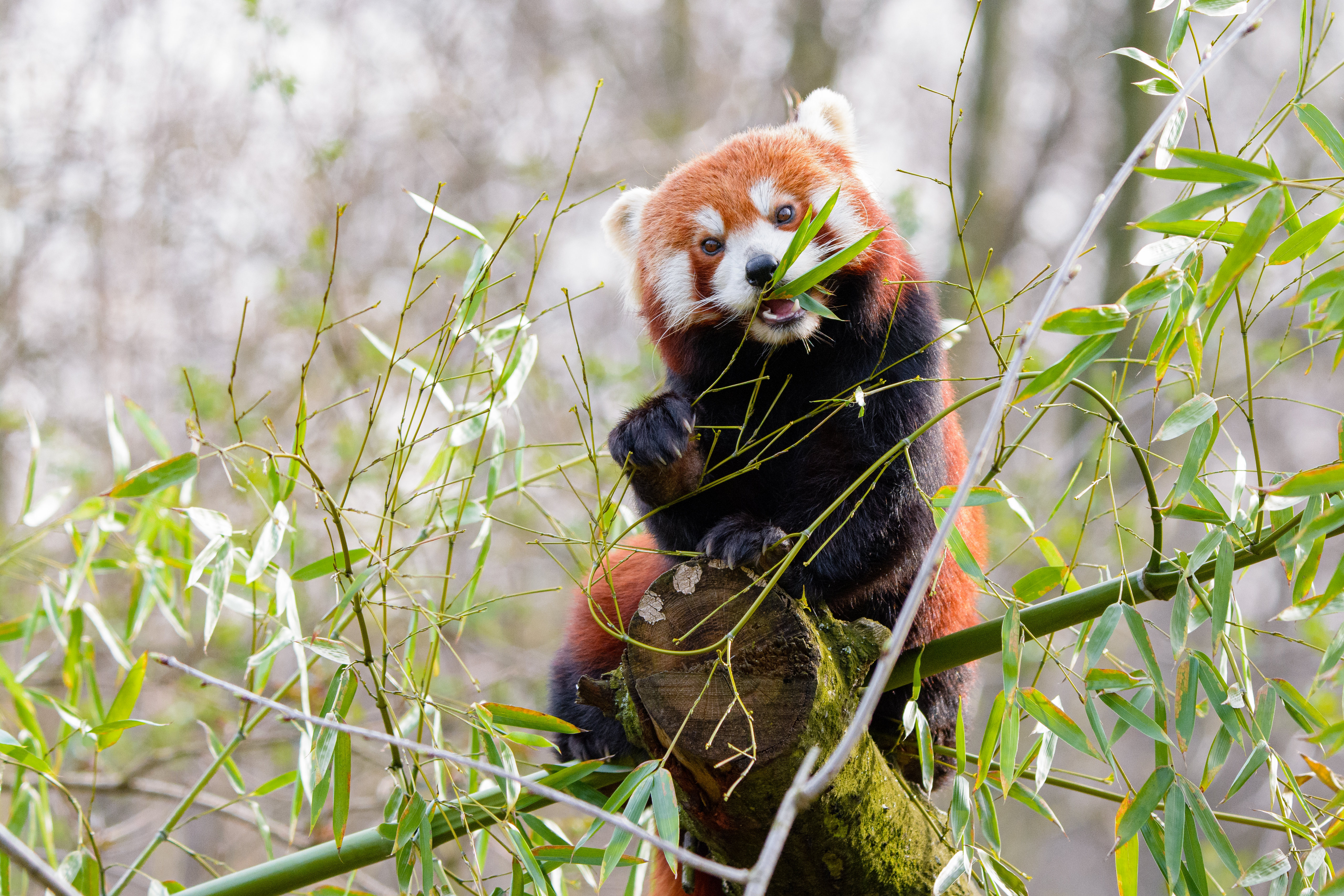 144880 download wallpaper Animals, Red Panda, Panda, Nice, Sweetheart, Bamboo screensavers and pictures for free