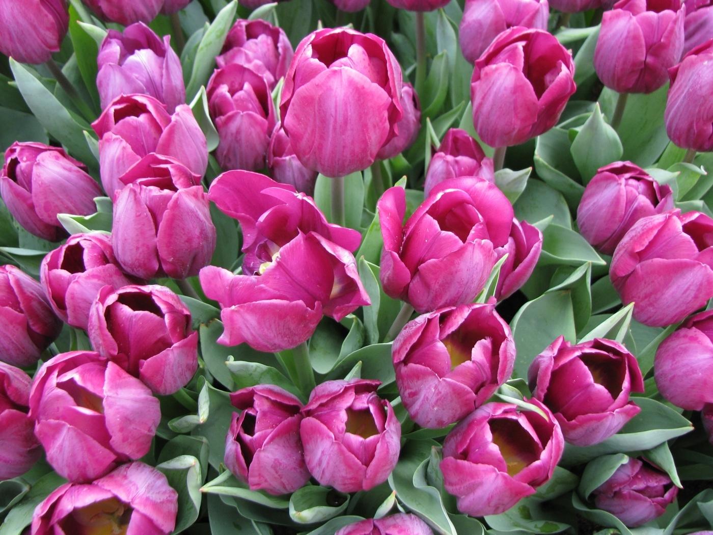 25587 скачать обои Растения, Цветы, Тюльпаны - заставки и картинки бесплатно