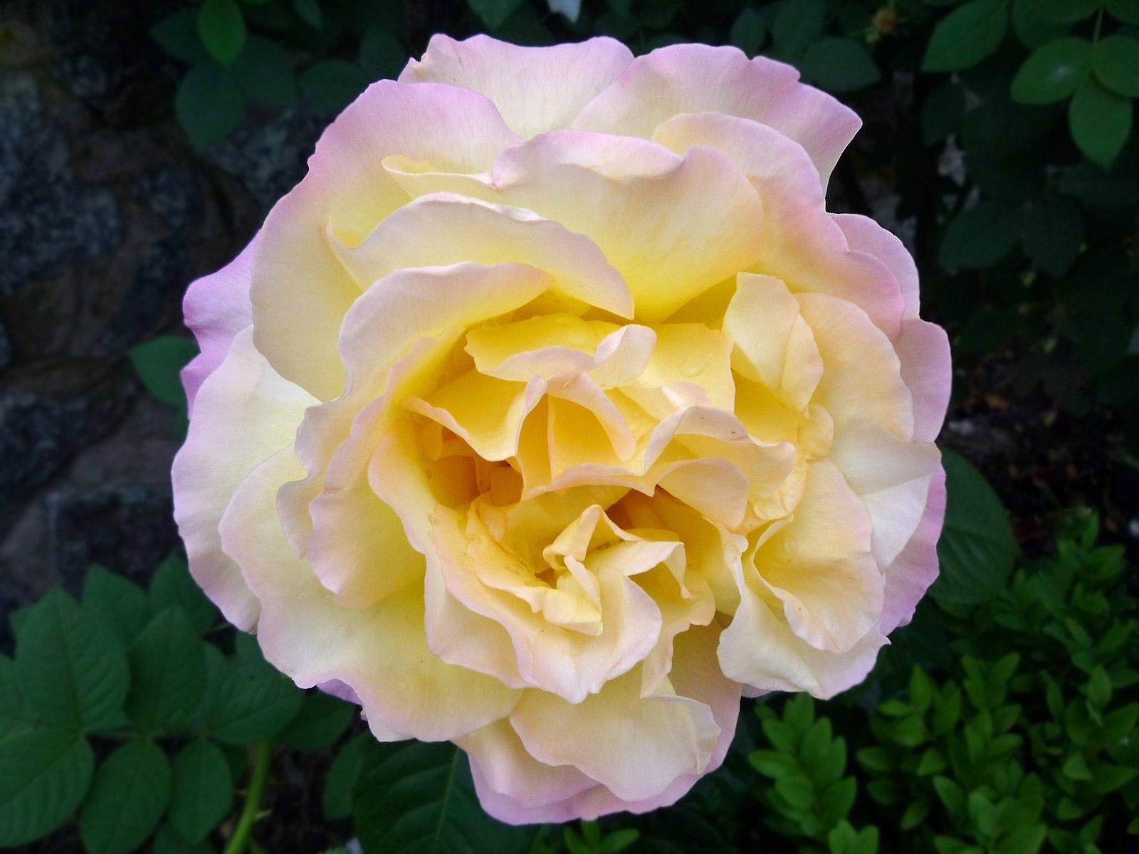 4841 скачать обои Растения, Цветы, Розы - заставки и картинки бесплатно