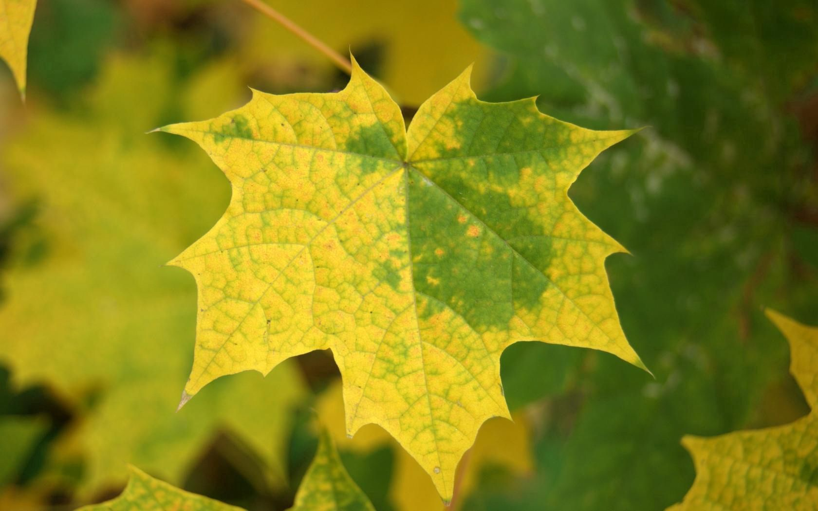 112028 download wallpaper Macro, Leaves, Maple, Autumn, Fallen screensavers and pictures for free