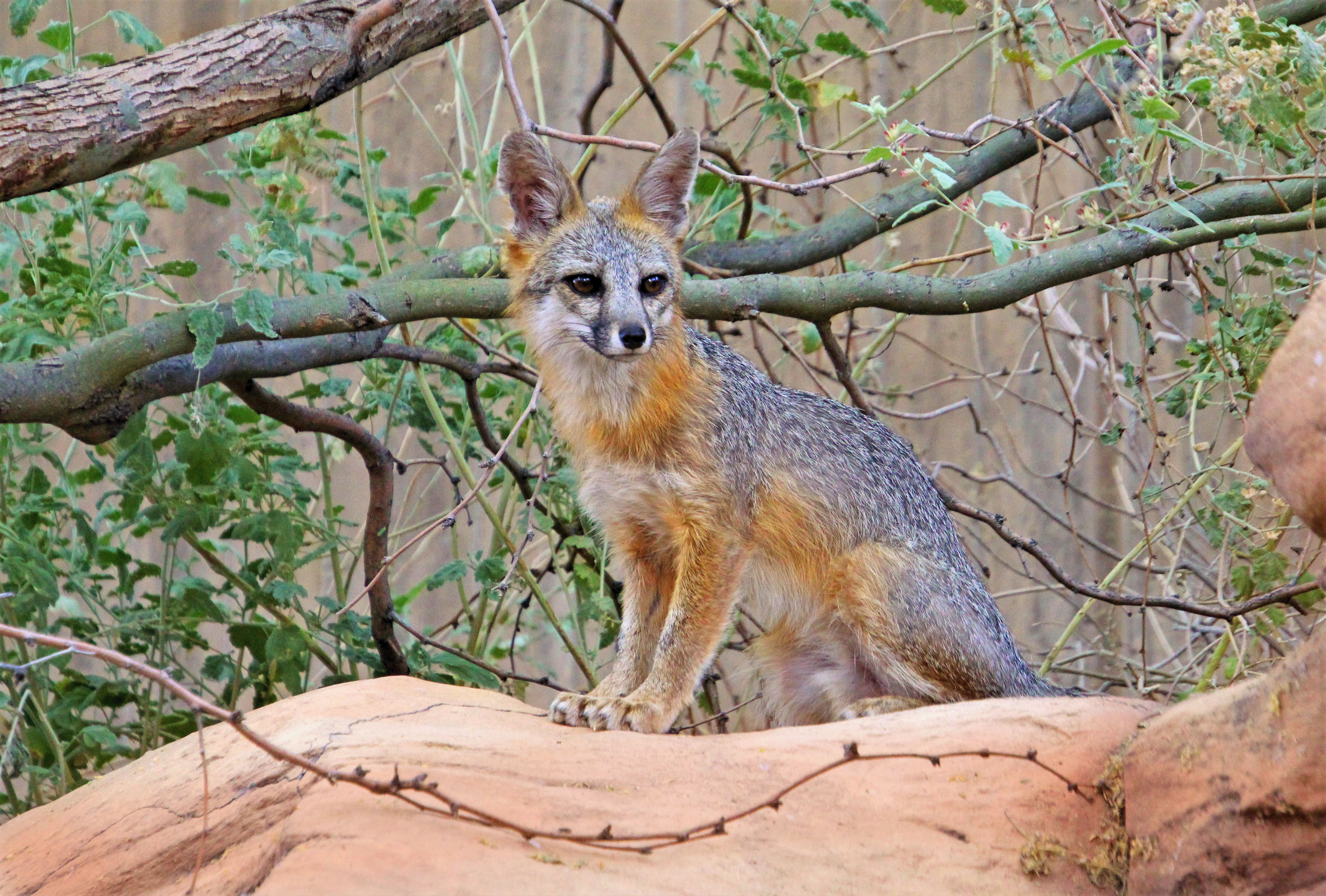 62704 download wallpaper Animals, Fox, Beast, Nice, Sweetheart, Rock, Stone screensavers and pictures for free