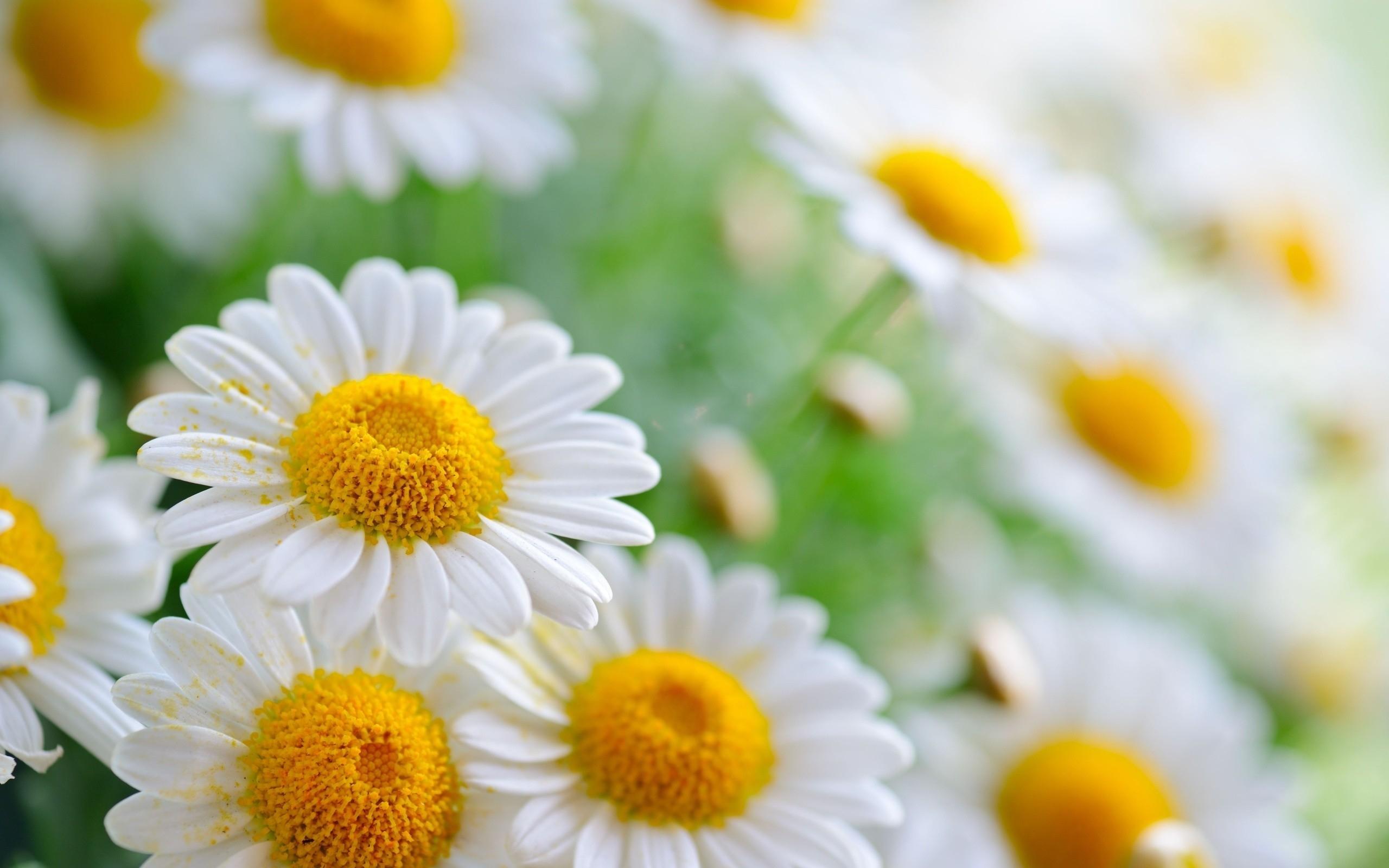 17321 скачать обои Растения, Цветы, Ромашки - заставки и картинки бесплатно