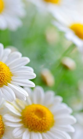 17321 download wallpaper Plants, Flowers, Camomile screensavers and pictures for free