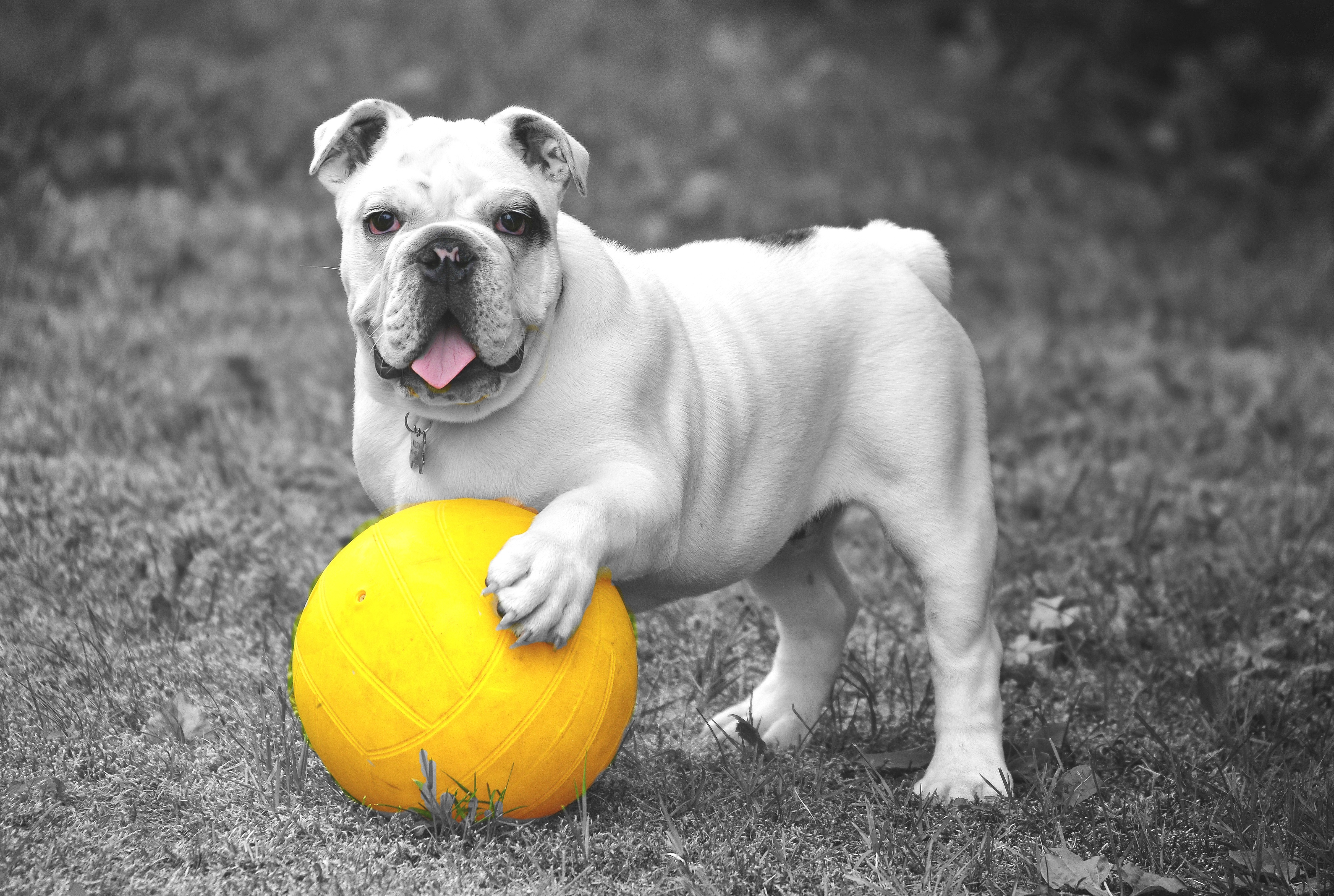 127658 download wallpaper Animals, Dog, Bulldog, Ball, Grass, Bw, Chb screensavers and pictures for free