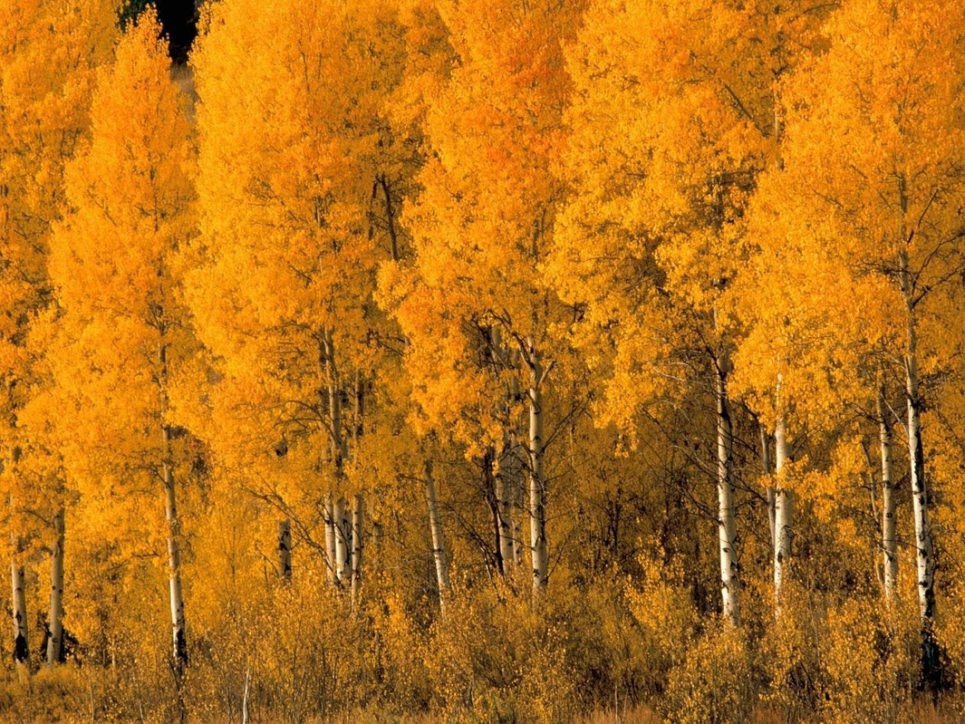24578 скачать обои Пейзаж, Деревья, Осень, Березы - заставки и картинки бесплатно