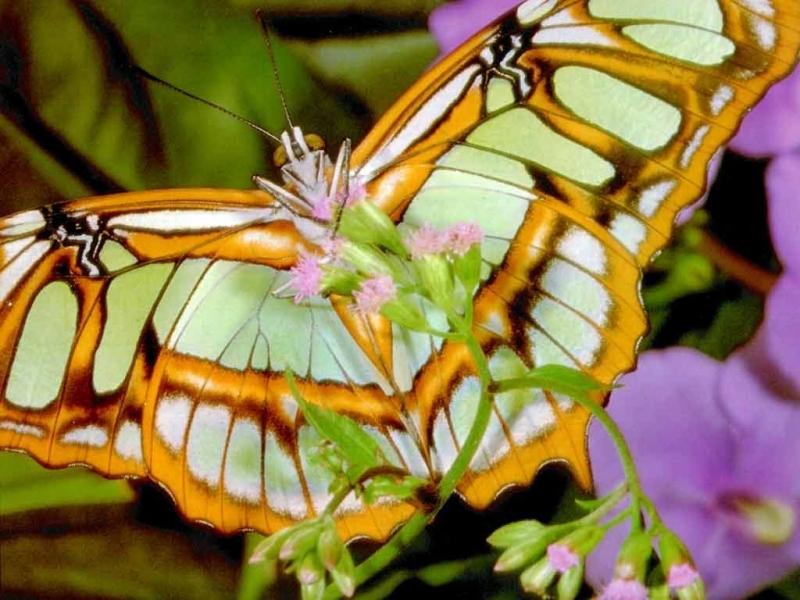 42136 скачать обои Бабочки, Насекомые - заставки и картинки бесплатно