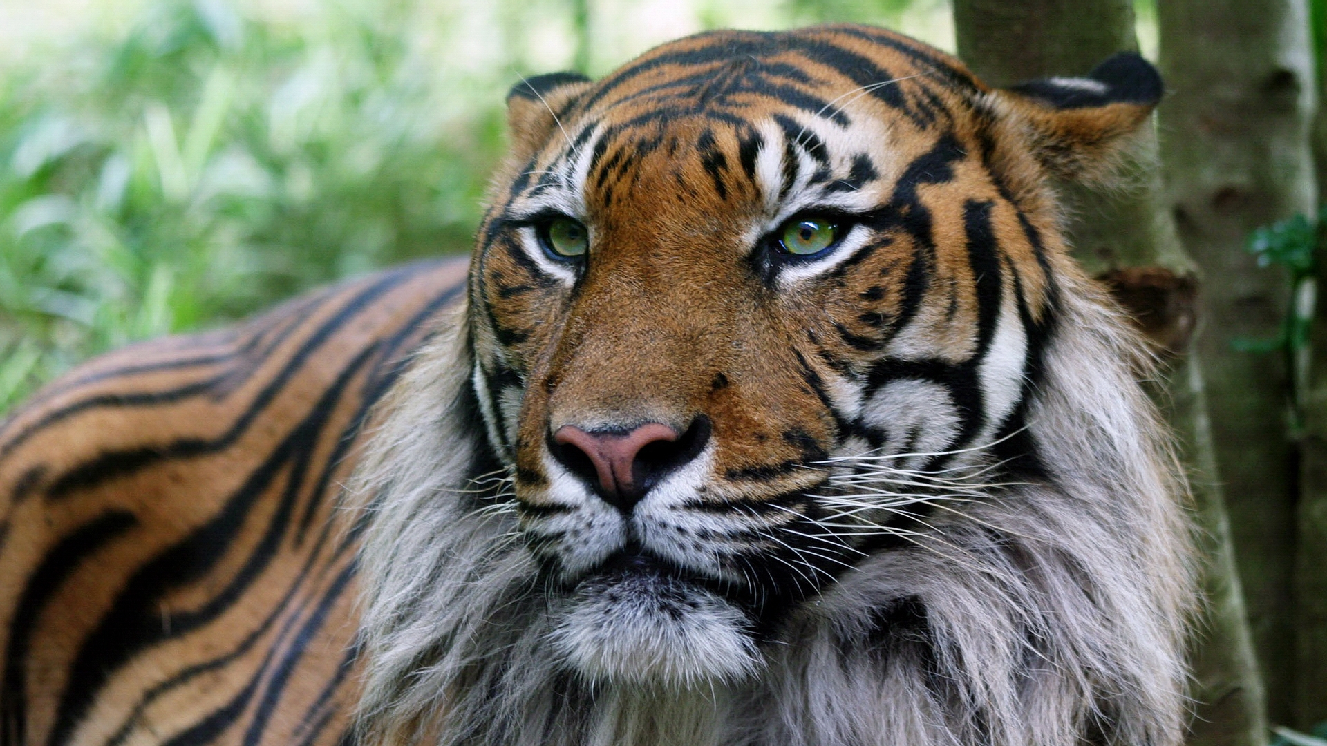 37710 download wallpaper Animals, Tigers screensavers and pictures for free