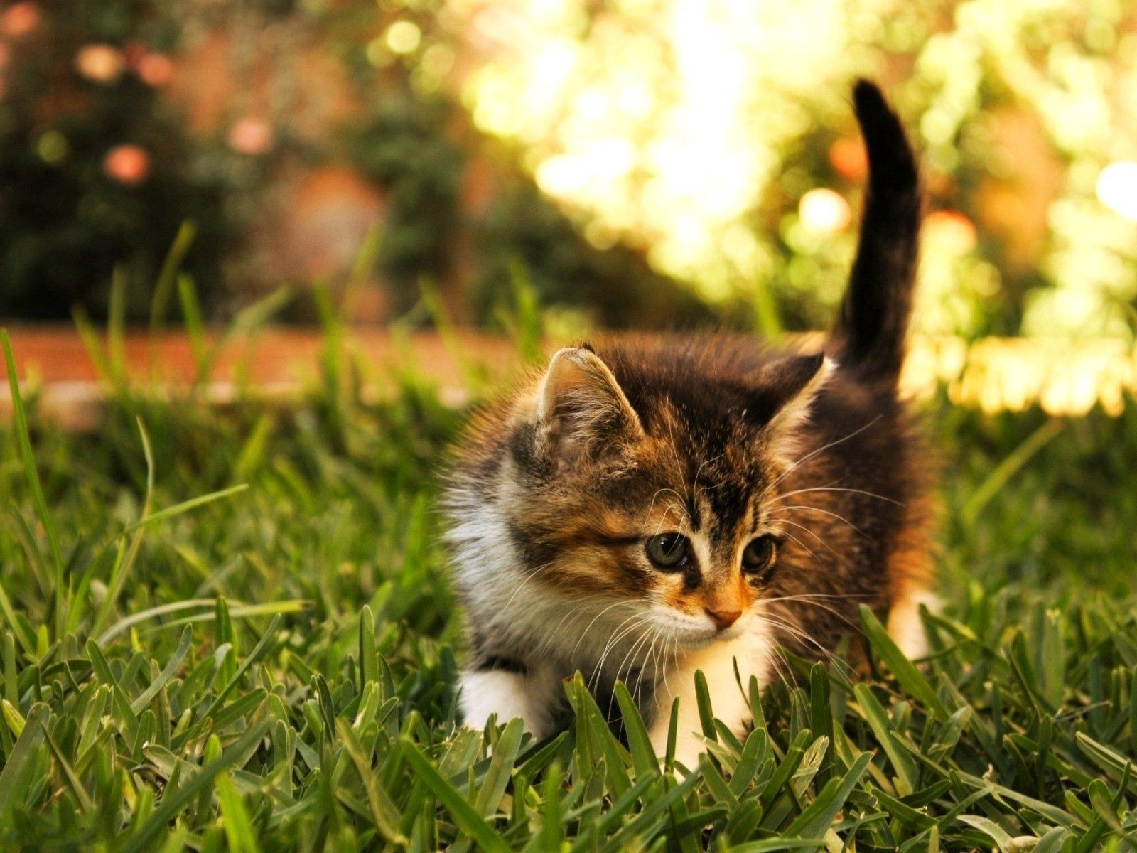 66445 Screensavers and Wallpapers Kitten for phone. Download Animals, Grass, Fluffy, Kitty, Kitten, Stroll pictures for free