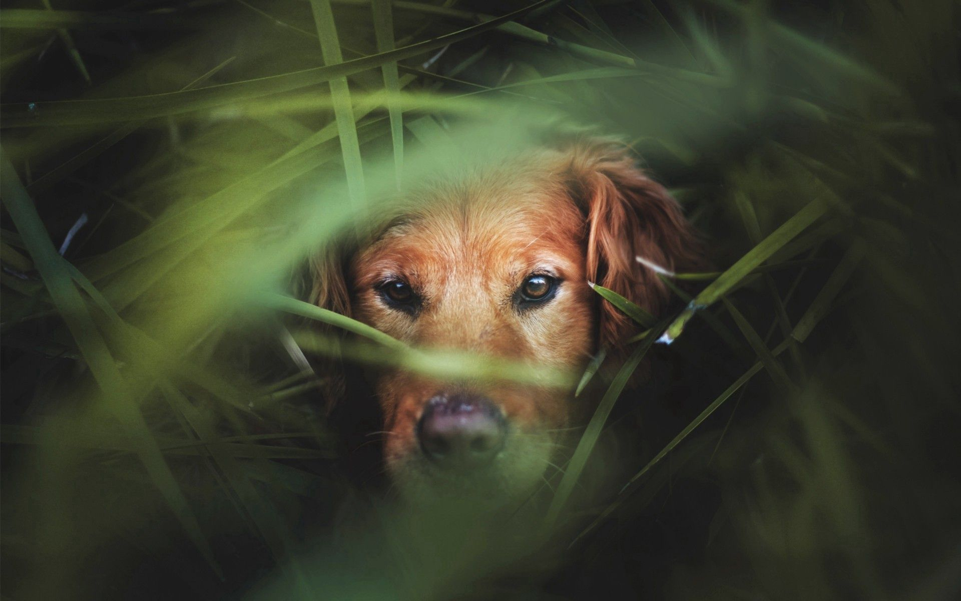 156587 download wallpaper Animals, Dog, Muzzle, Grass, Hunting, Hunt screensavers and pictures for free