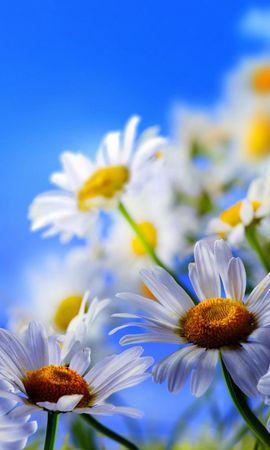27234 скачать обои Растения, Бабочки, Цветы, Насекомые, Ромашки - заставки и картинки бесплатно