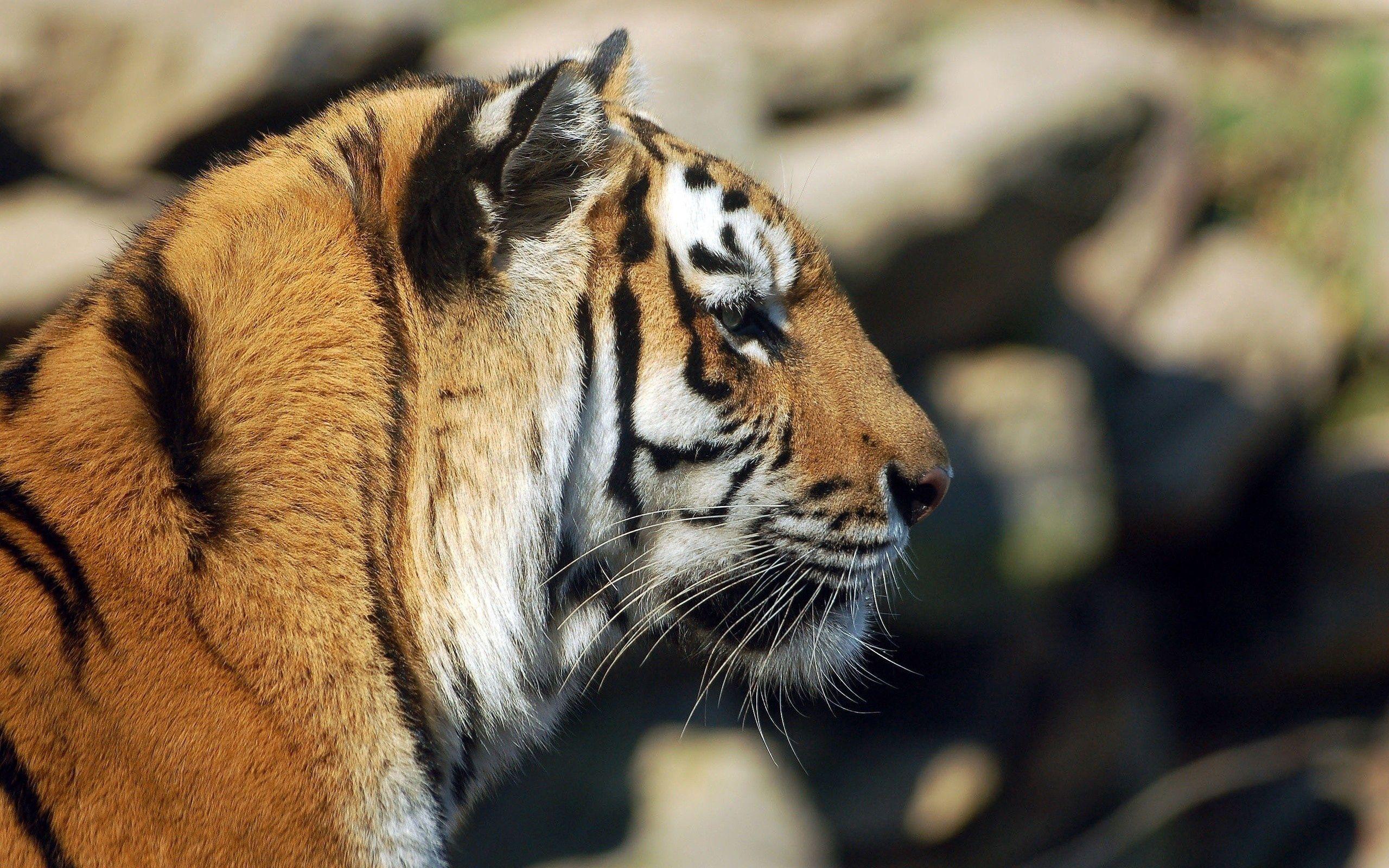 117373 скачать обои Животные, Тигр, Морда, Профиль, Лежать, Хищник - заставки и картинки бесплатно