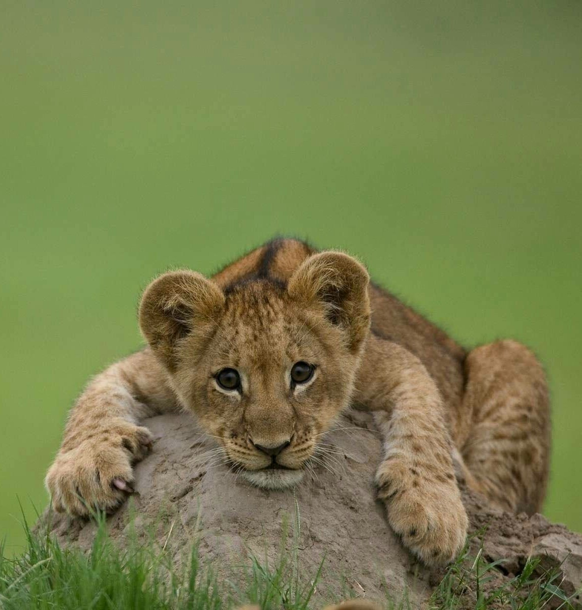 20272 download wallpaper Animals, Lions screensavers and pictures for free