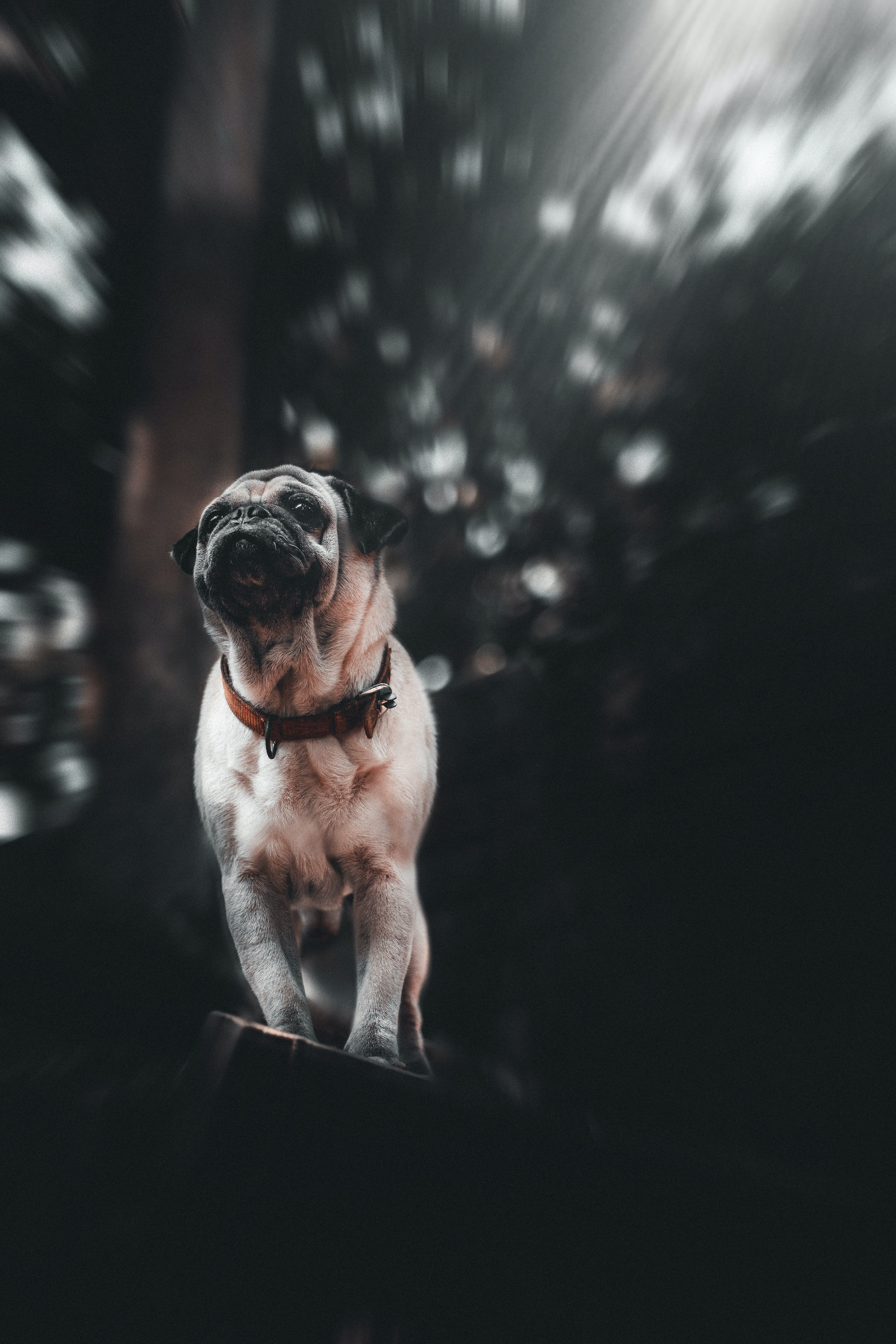 61704 download wallpaper Animals, Pug, Puppy, Dog, Pet, Sight, Opinion screensavers and pictures for free
