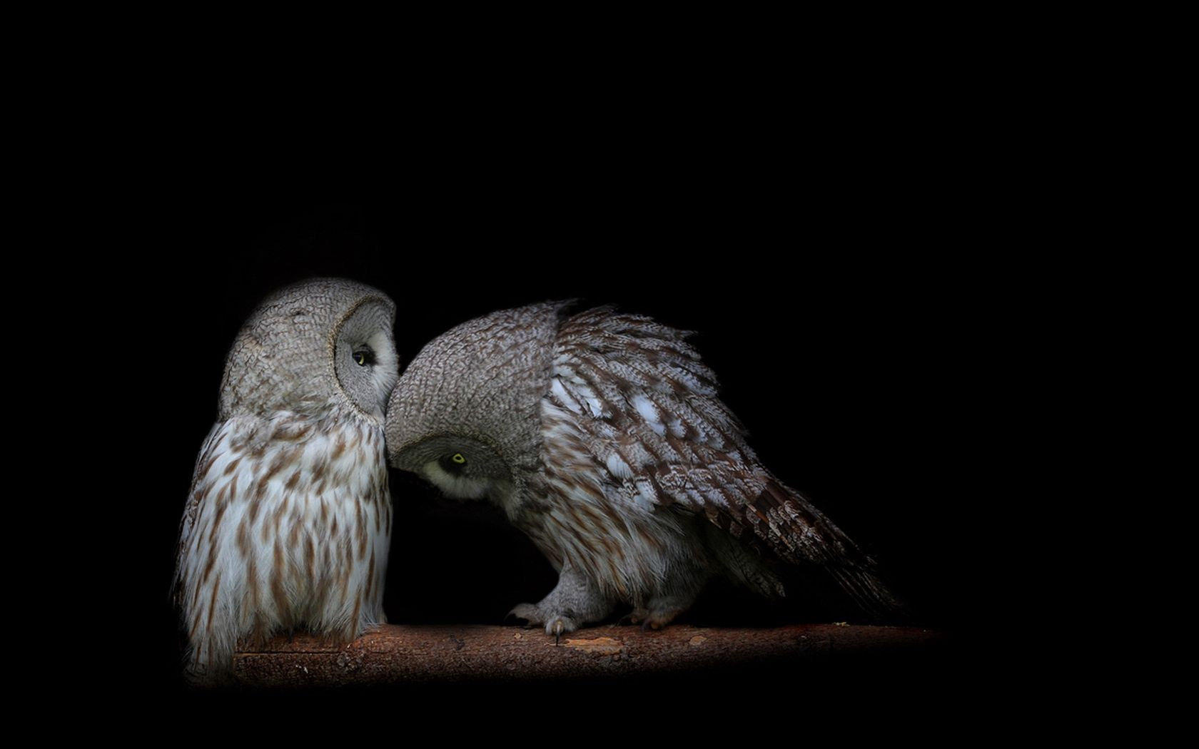 76692 Screensavers and Wallpapers Predators for phone. Download Owl, Predators, Dark, Couple, Pair, Dark Background pictures for free