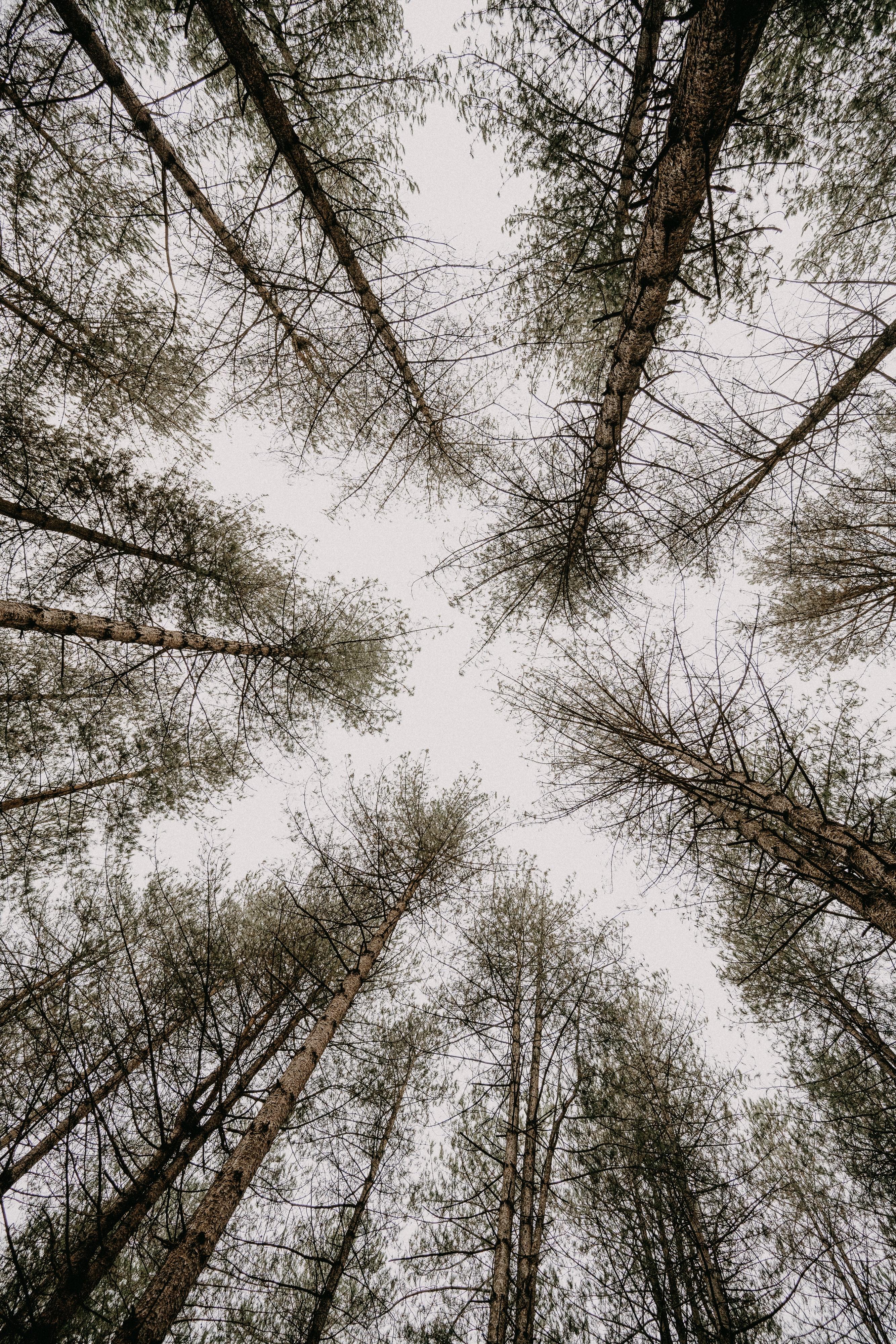 147917 скачать обои Природа, Деревья, Небо, Вид Снизу, Сосны - заставки и картинки бесплатно