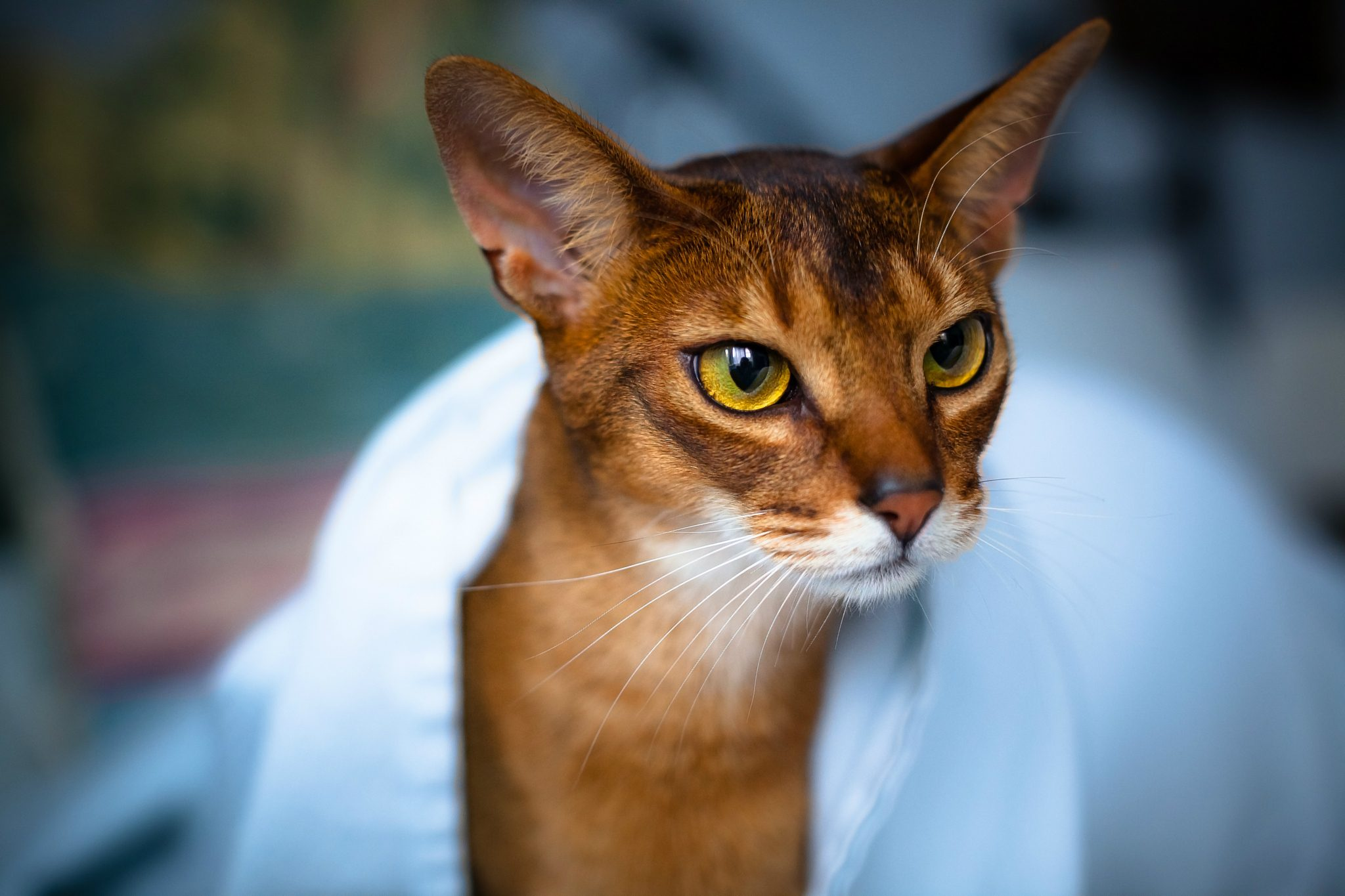 124524 Screensavers and Wallpapers Beautiful for phone. Download Animals, Cat, Muzzle, Beautiful, Sight, Opinion, Abyssinian Cat pictures for free