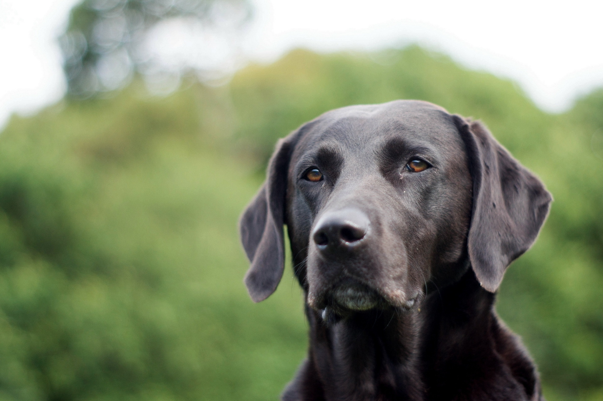 85999 download wallpaper Animals, Dog, Muzzle, Grass, Ears, Labrador screensavers and pictures for free