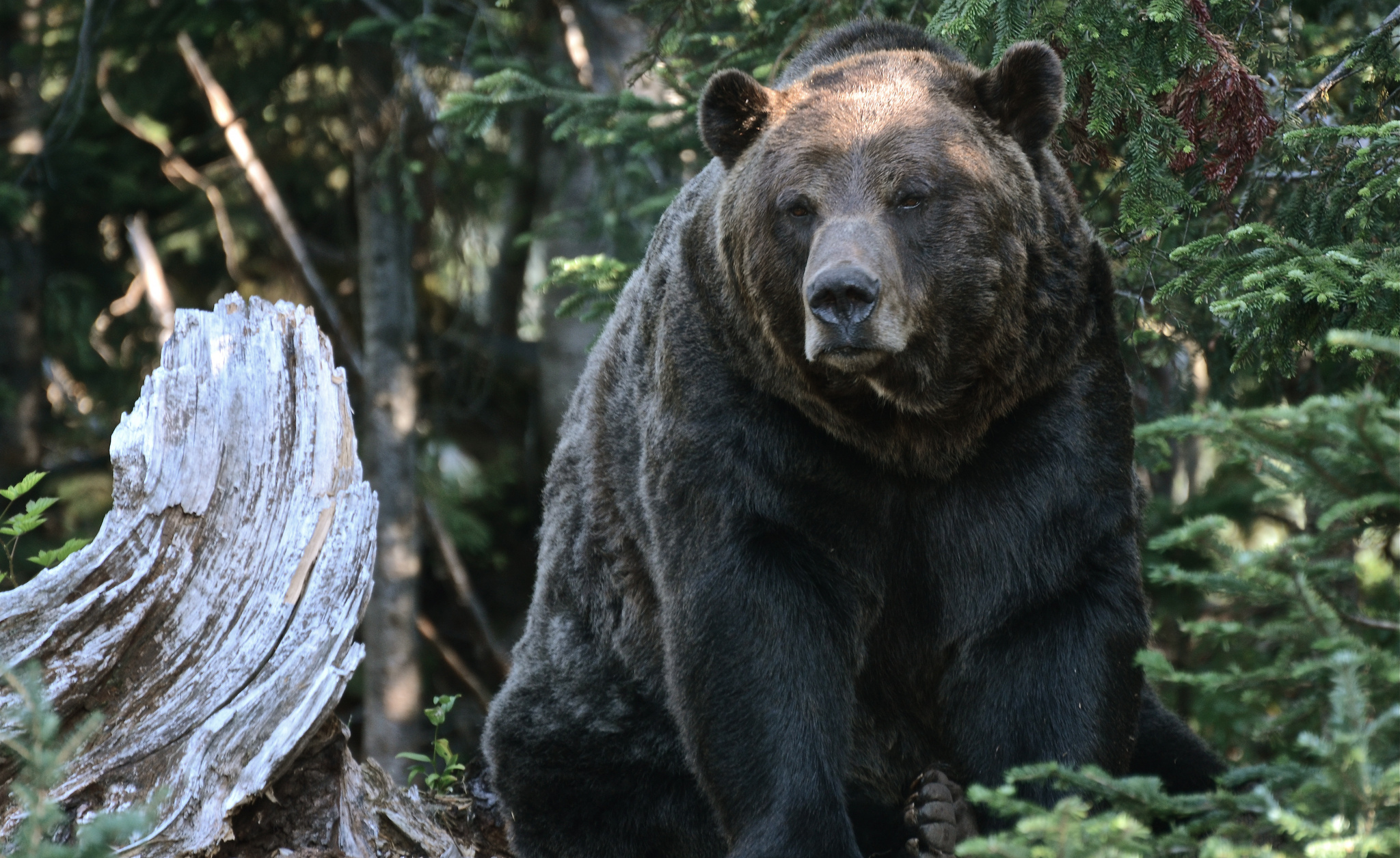 125210 Screensavers and Wallpapers Bear for phone. Download Animals, Trees, Forest, Bear, Grizzly, Grizzly Bear pictures for free