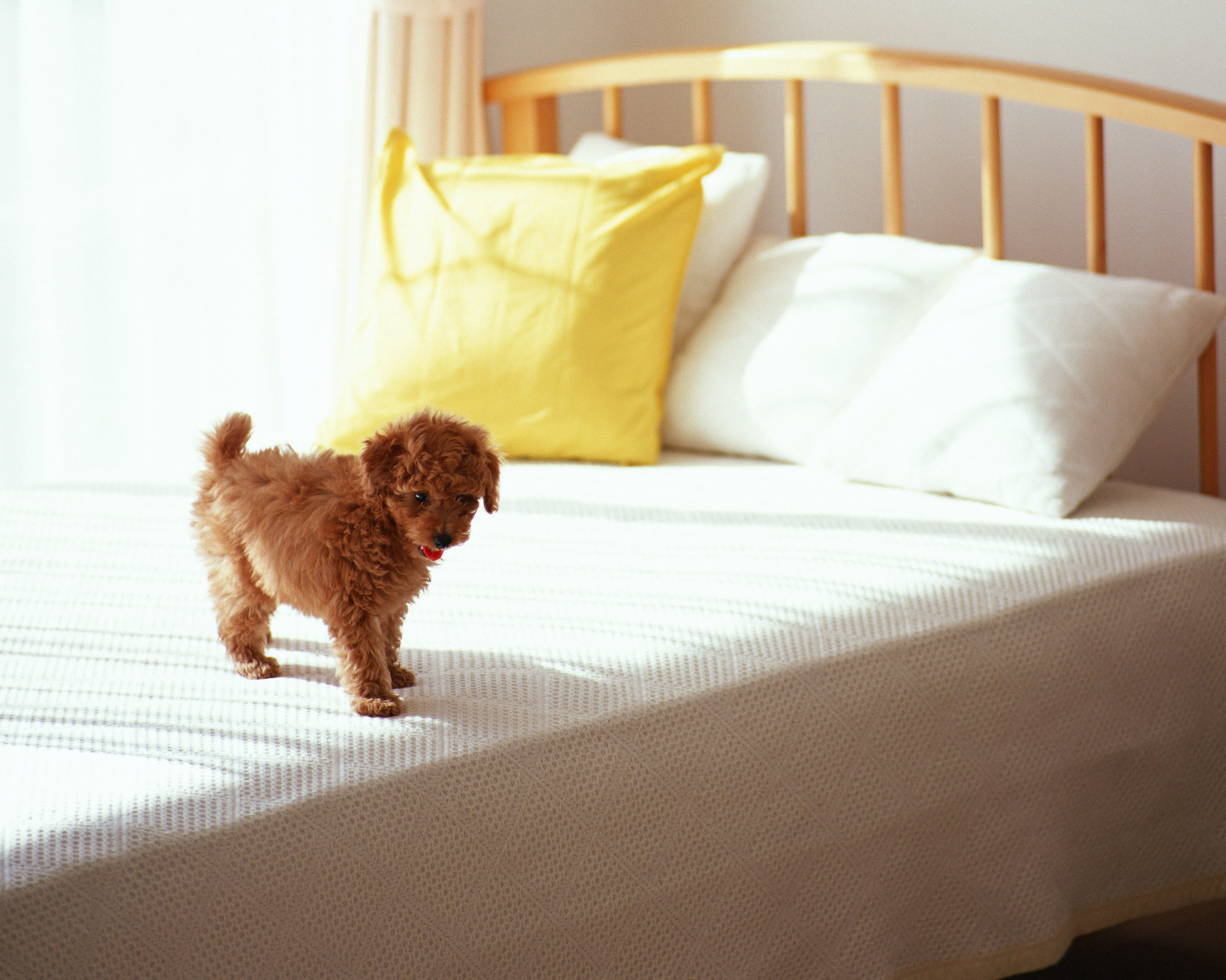 145775 download wallpaper Animals, Puppy, Curls, Bed, Morning screensavers and pictures for free